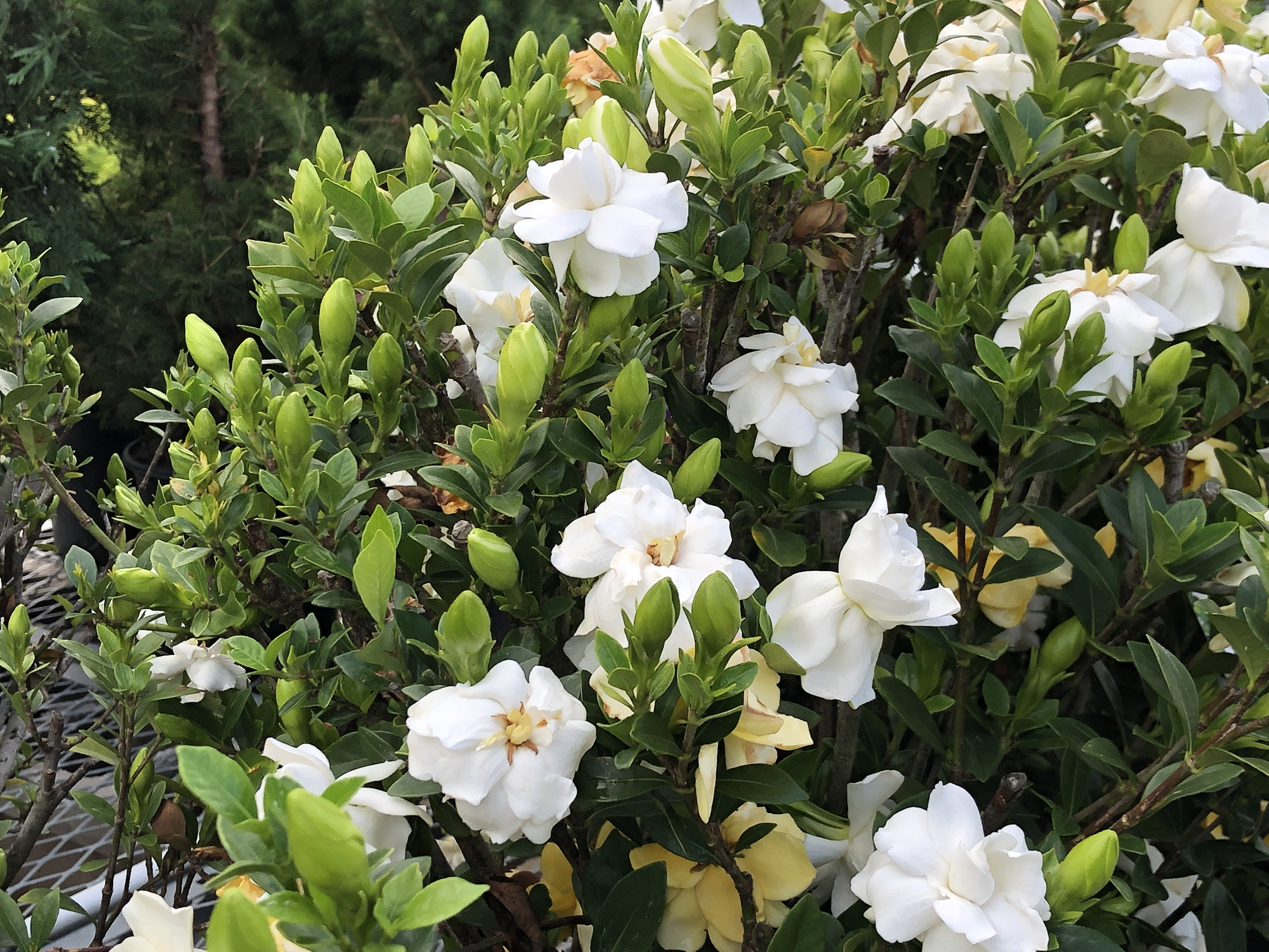 How and When to Prune Gardenias