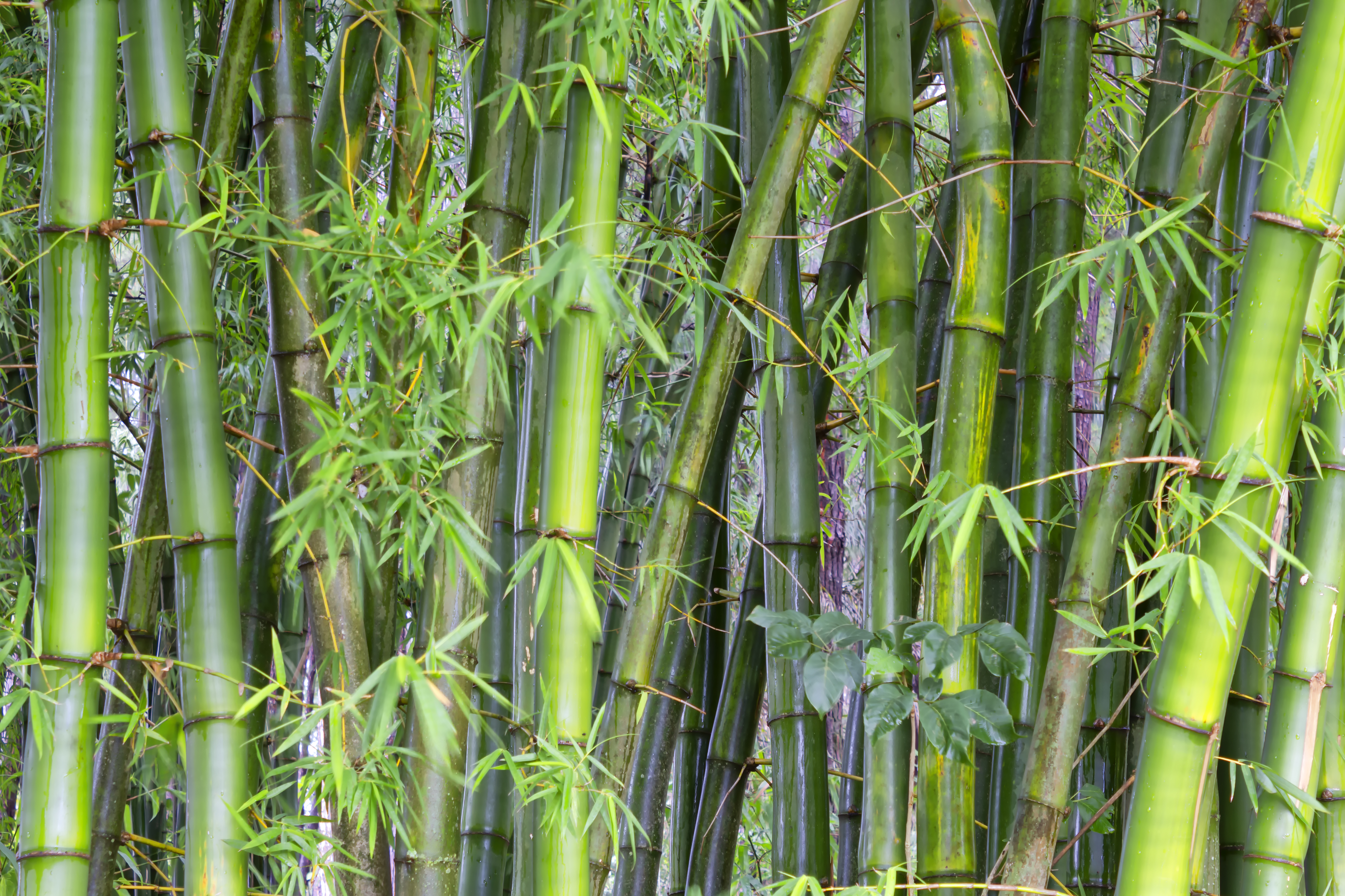 Can You Cut Lucky Bamboo Stalks Down To Size Home Guides Sf Gate