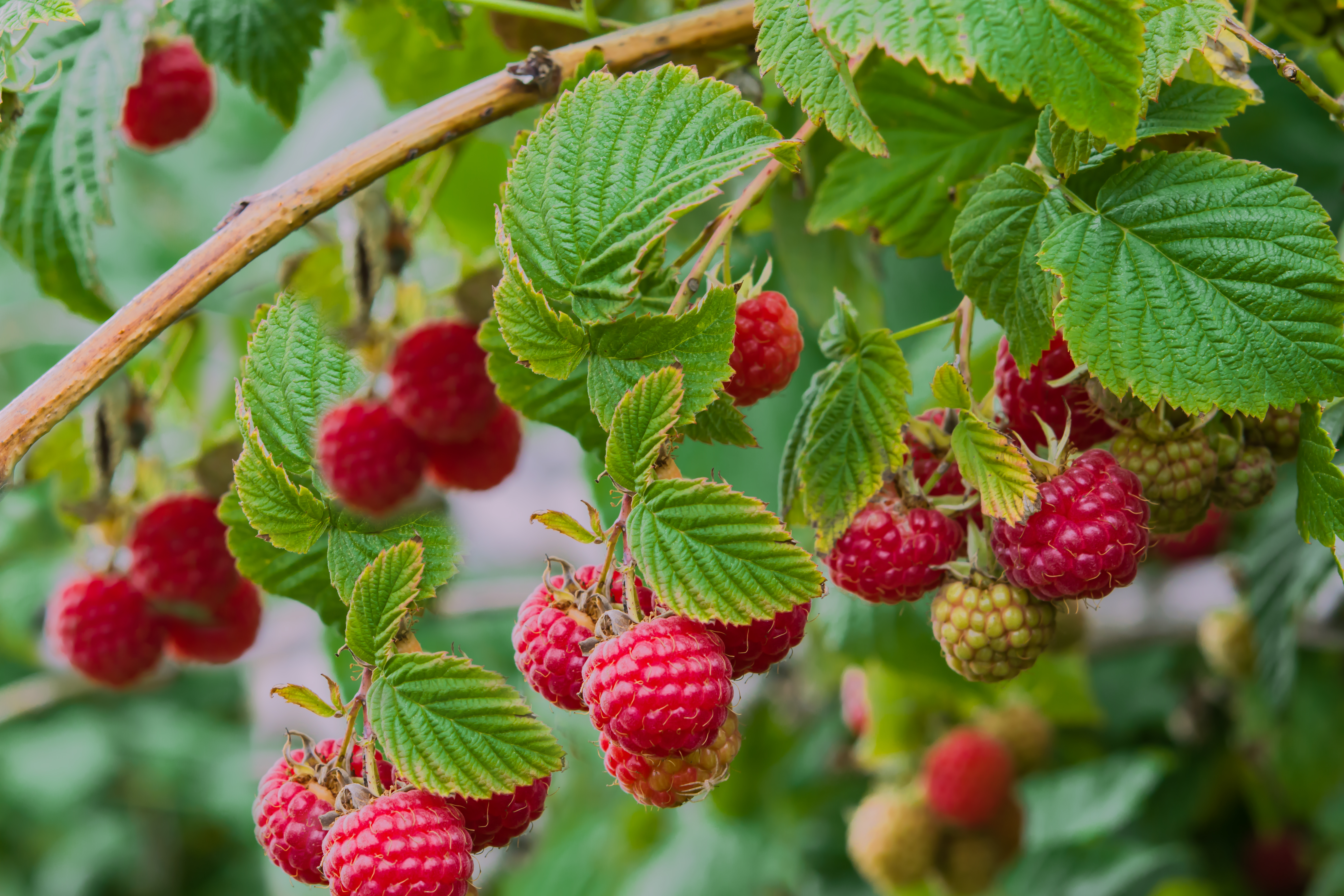 How to Grow Raspberries From Seeds | Home Guides | SF Gate
