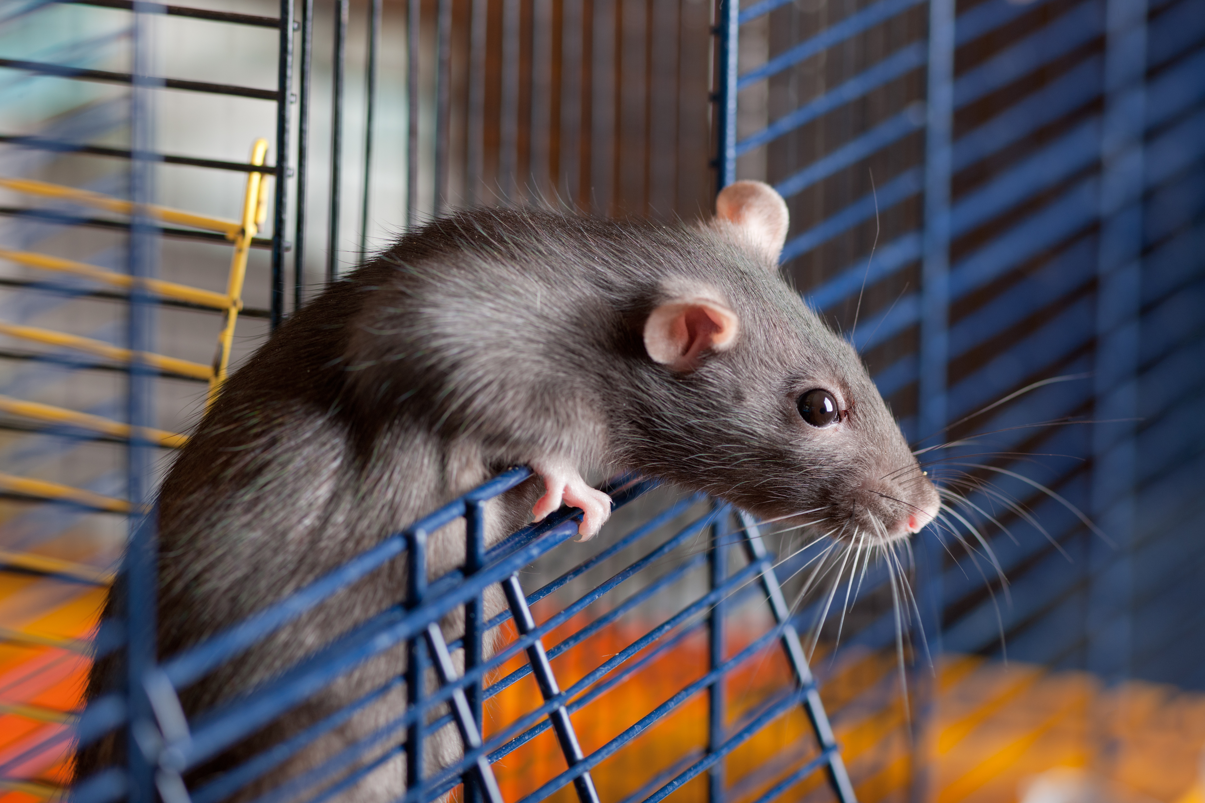 The Difference Between Pet Rats & Wild Rats