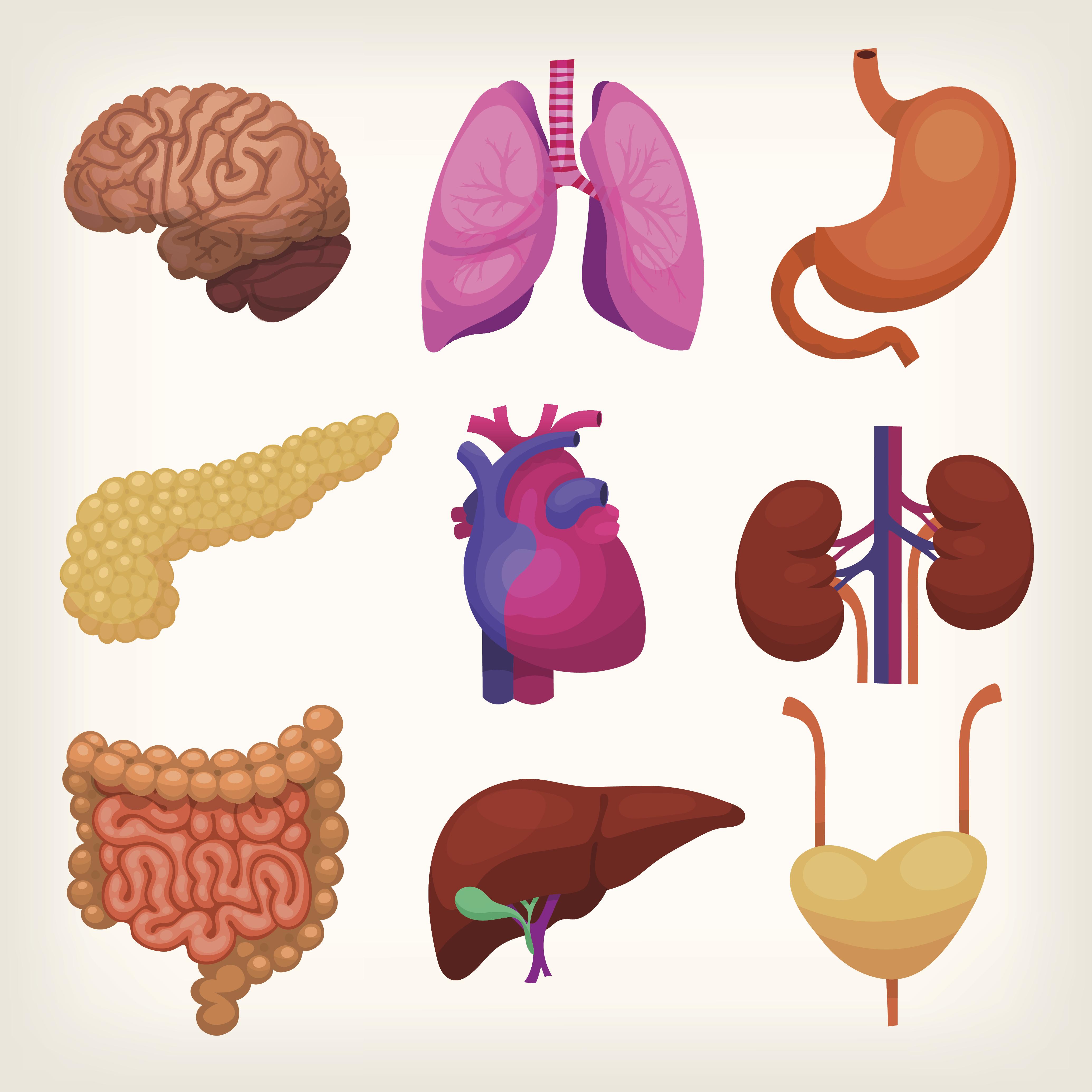Las funciones de los órganos humanos | Muy Fitness