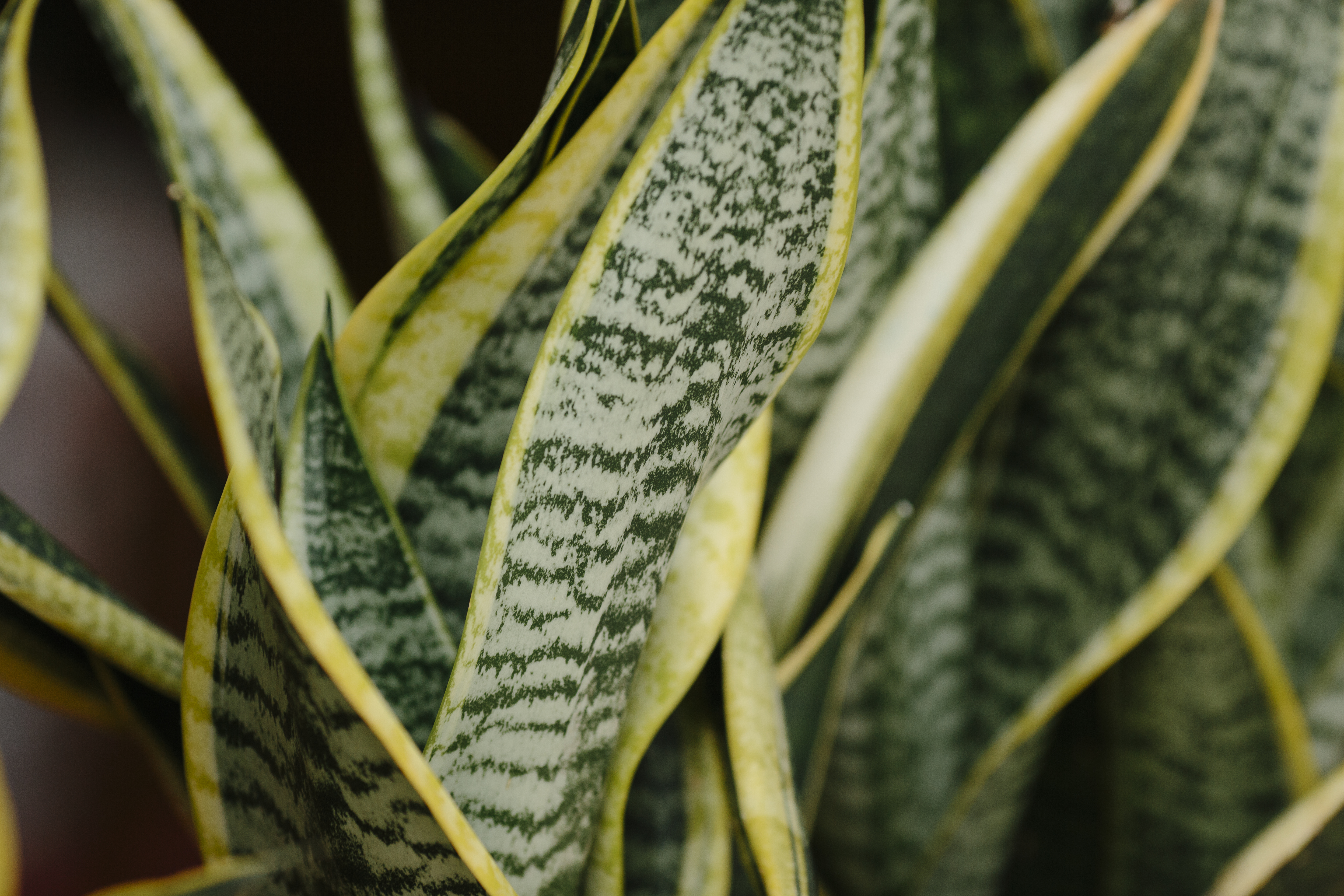 Why Is My Red-Edged Dracaena Turning Yellow and Its Leaves Are