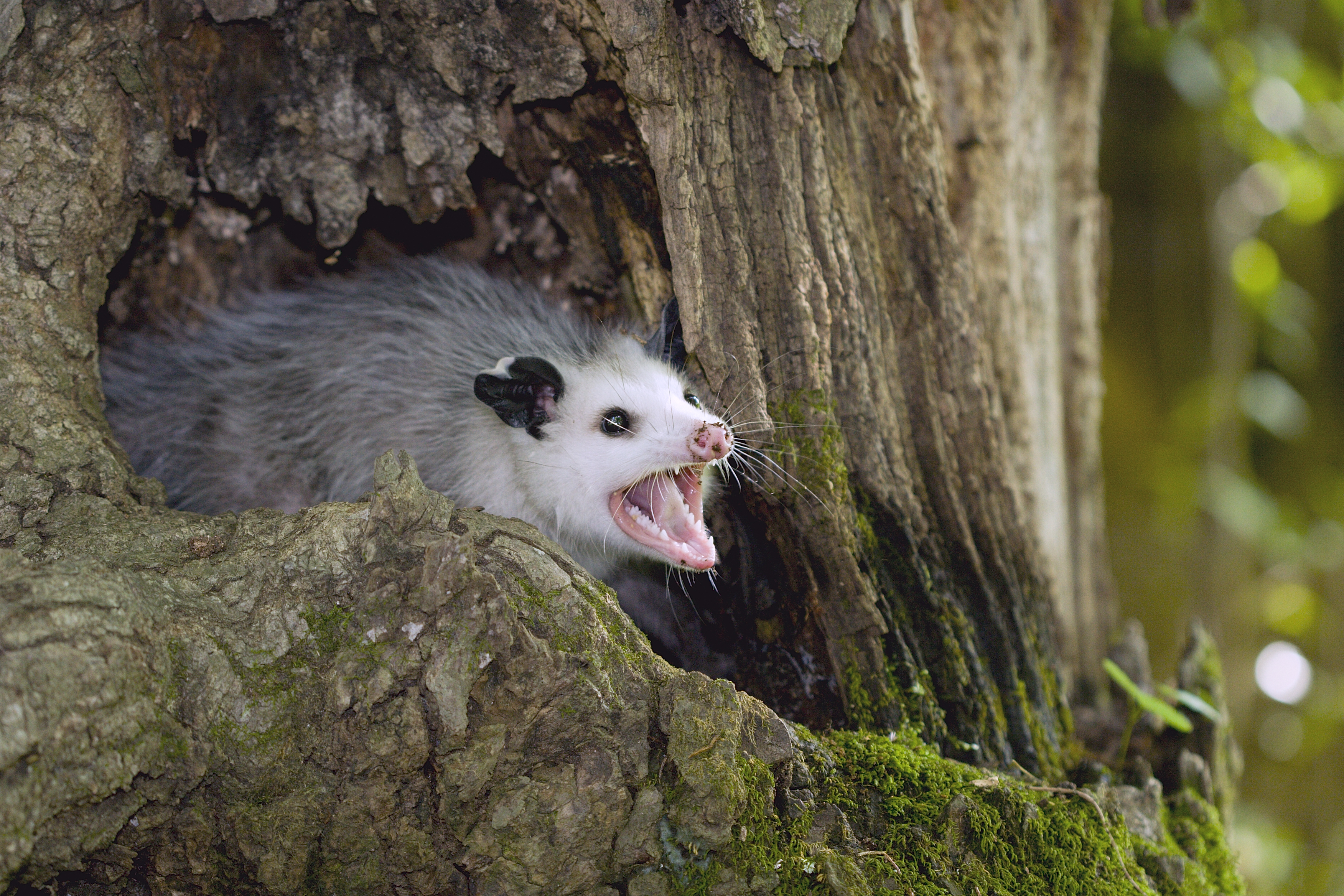How To Get Rid Of A Possum In Your Garage homemade natural possum repellent | home guides | sf gate
