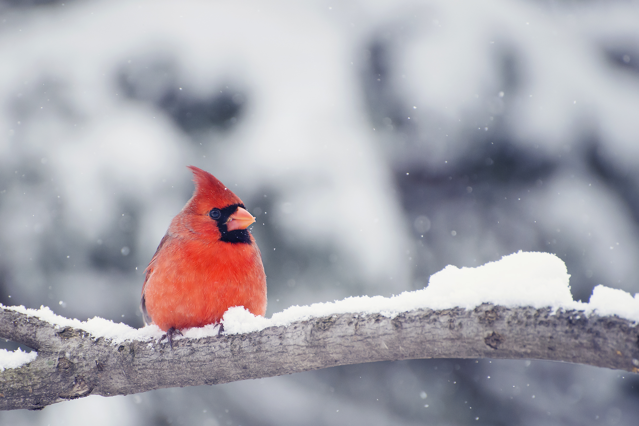 Color Phases Of Northern Cardinals Sciencing