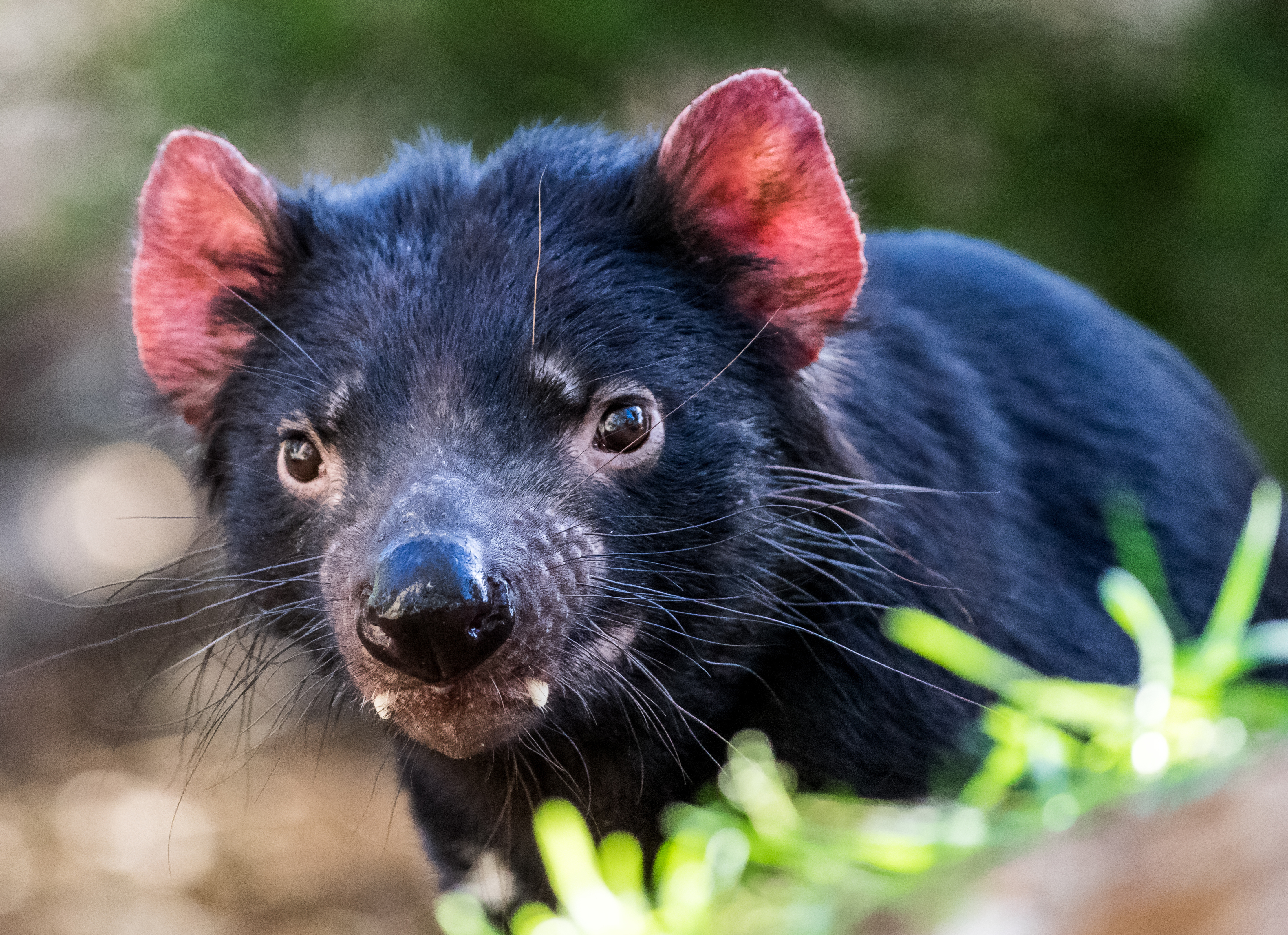 what eats or kills a tasmanian devil sciencing