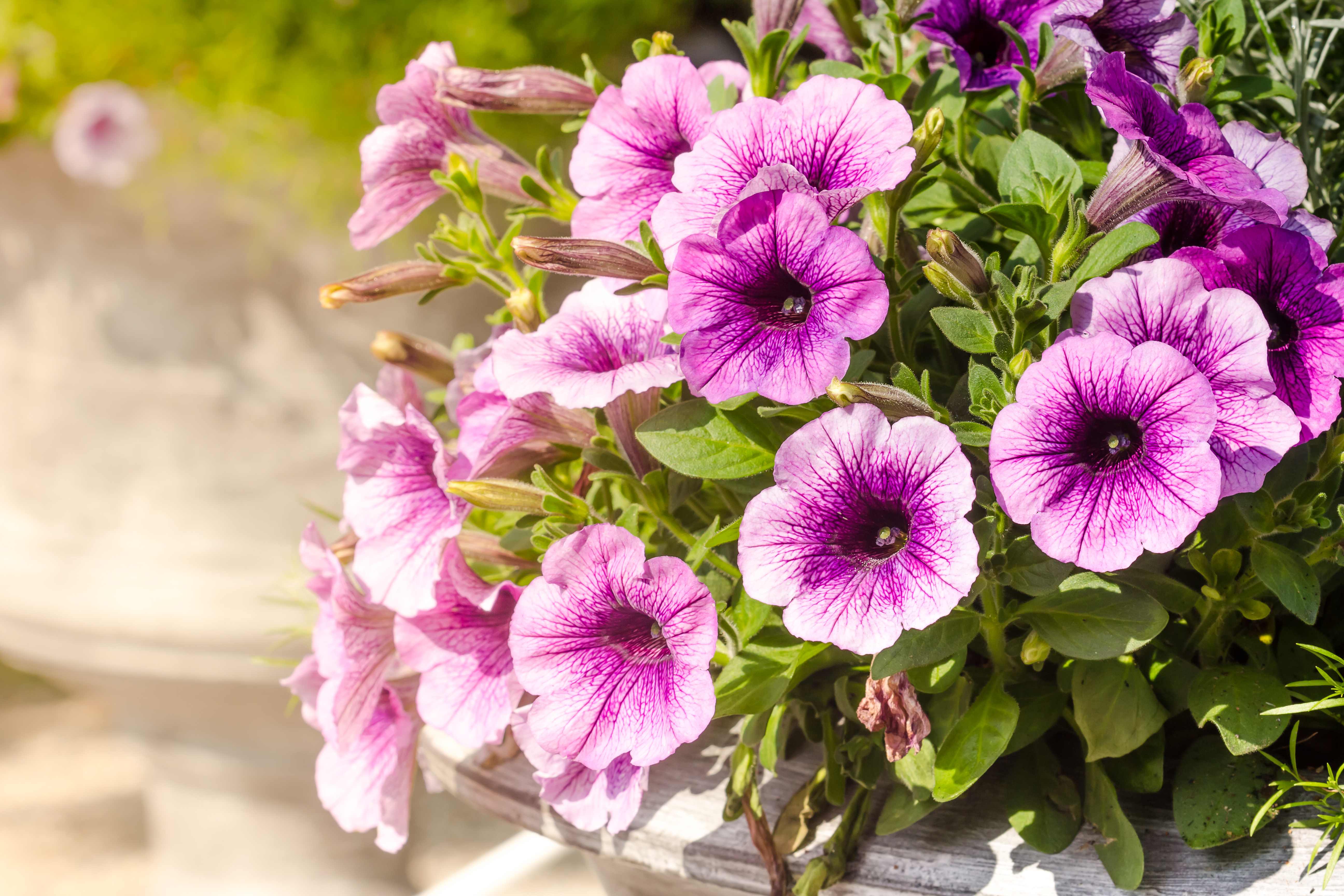 No Petunias Were Harmed In >> How Do I Treat Petunia Plants That Have Caterpillars Home Guides