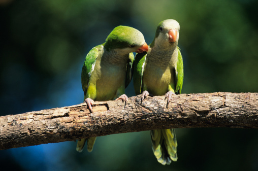 How to Tell a Male Green Cheeked Conure From a Female | Cuteness