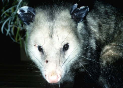 How Big Do Possums Get?