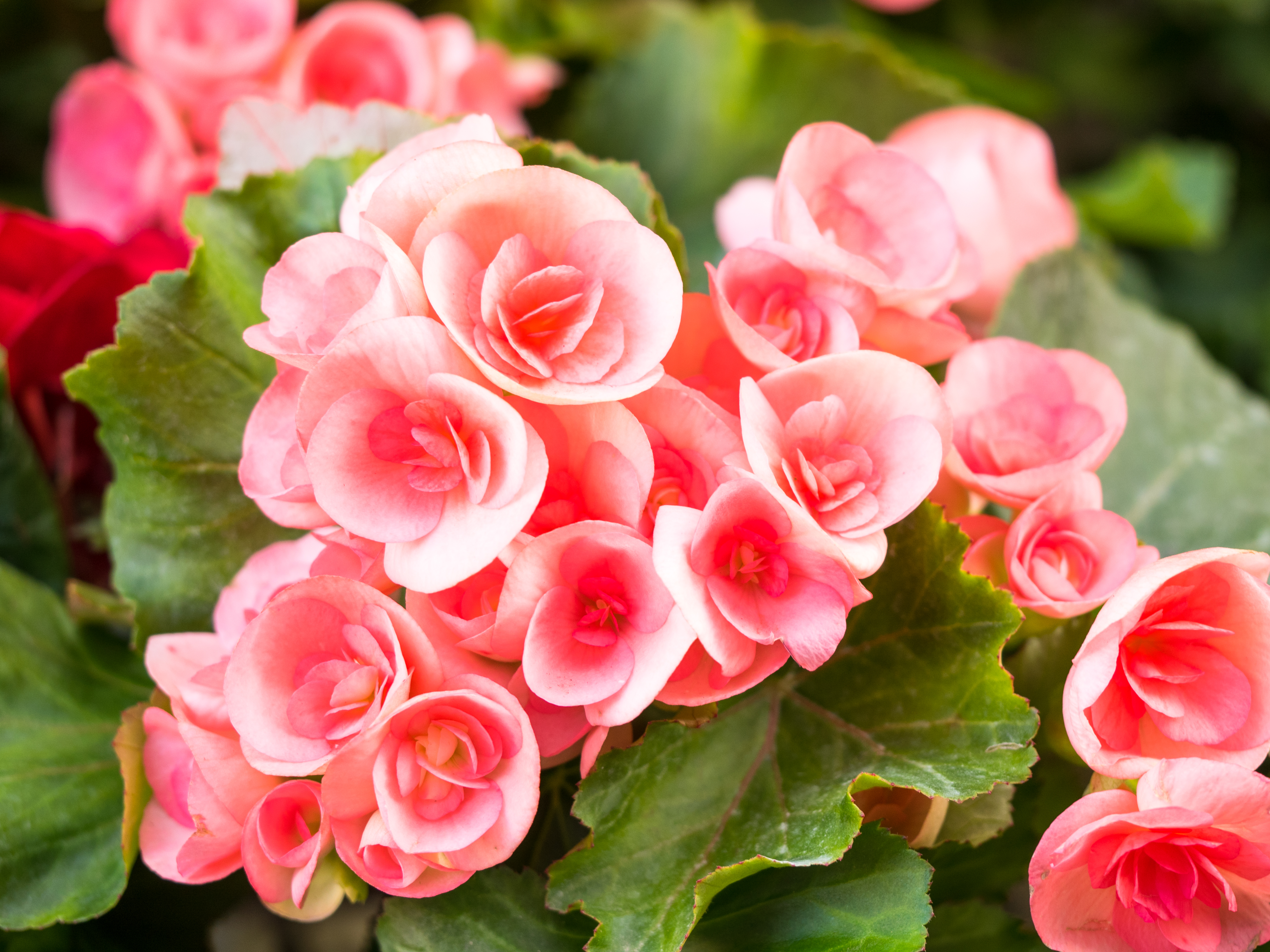 How To Rescue A Wilted Begonia Home Guides Sf Gate