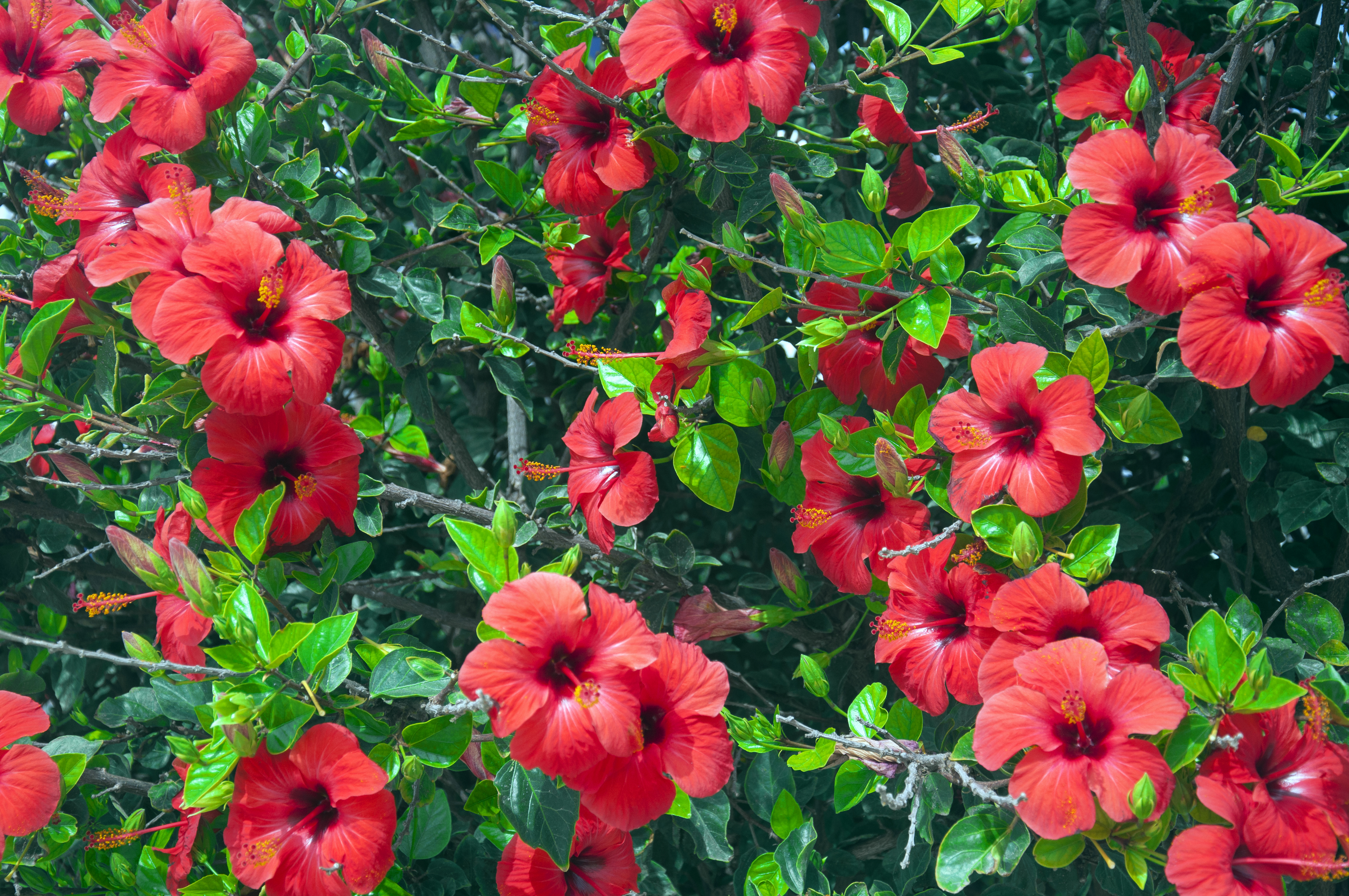 How To Care For Hibiscus Flowering Shrubs Home Guides Sf Gate