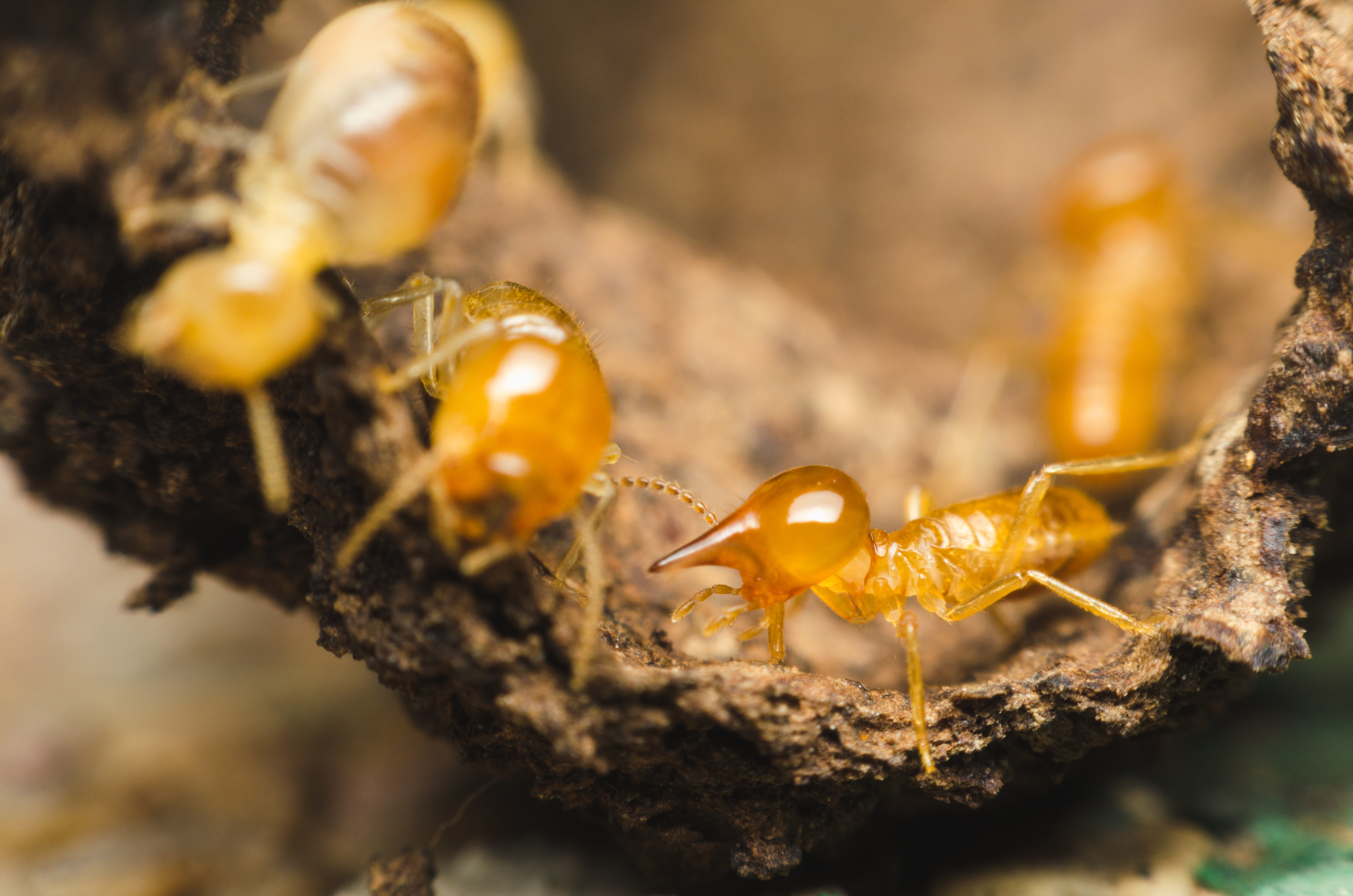 Do Ants Kill Termites Hunker