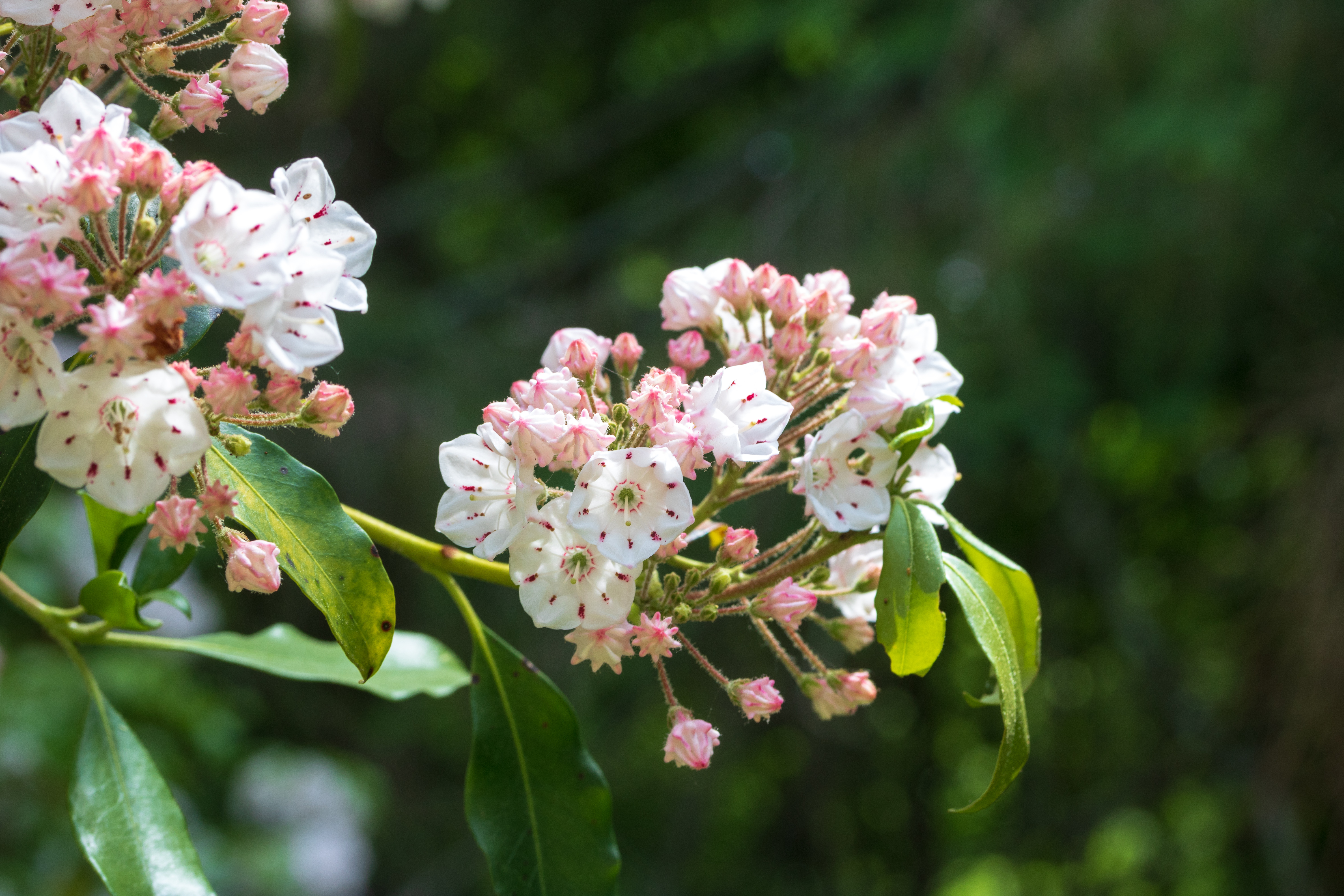 Cvs Mt Laurel >> How To Grow Mountain Laurels From Seed Home Guides Sf Gate