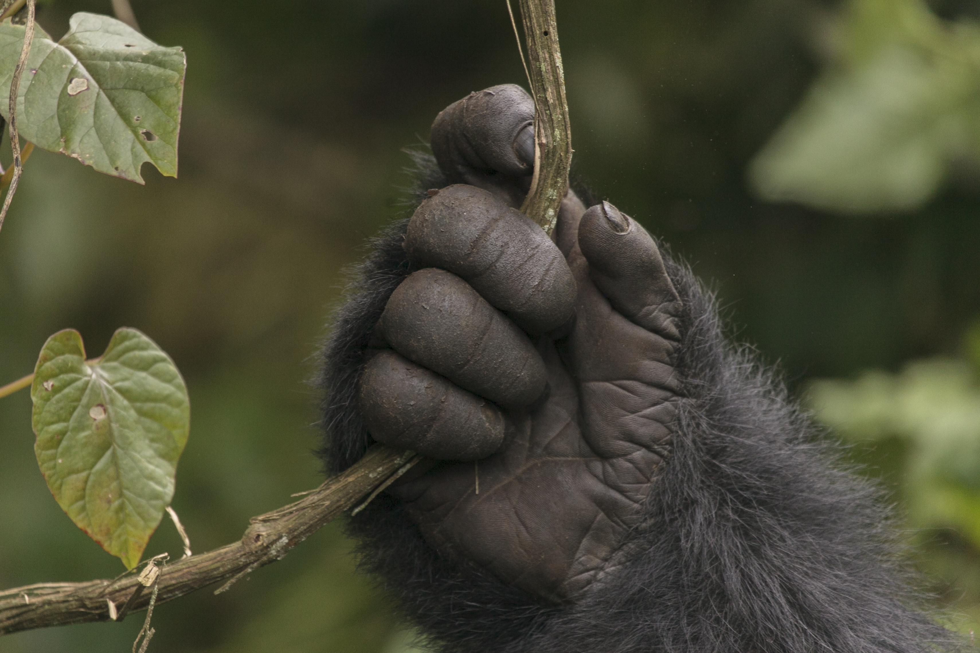Plausible thumb seperates human from ape