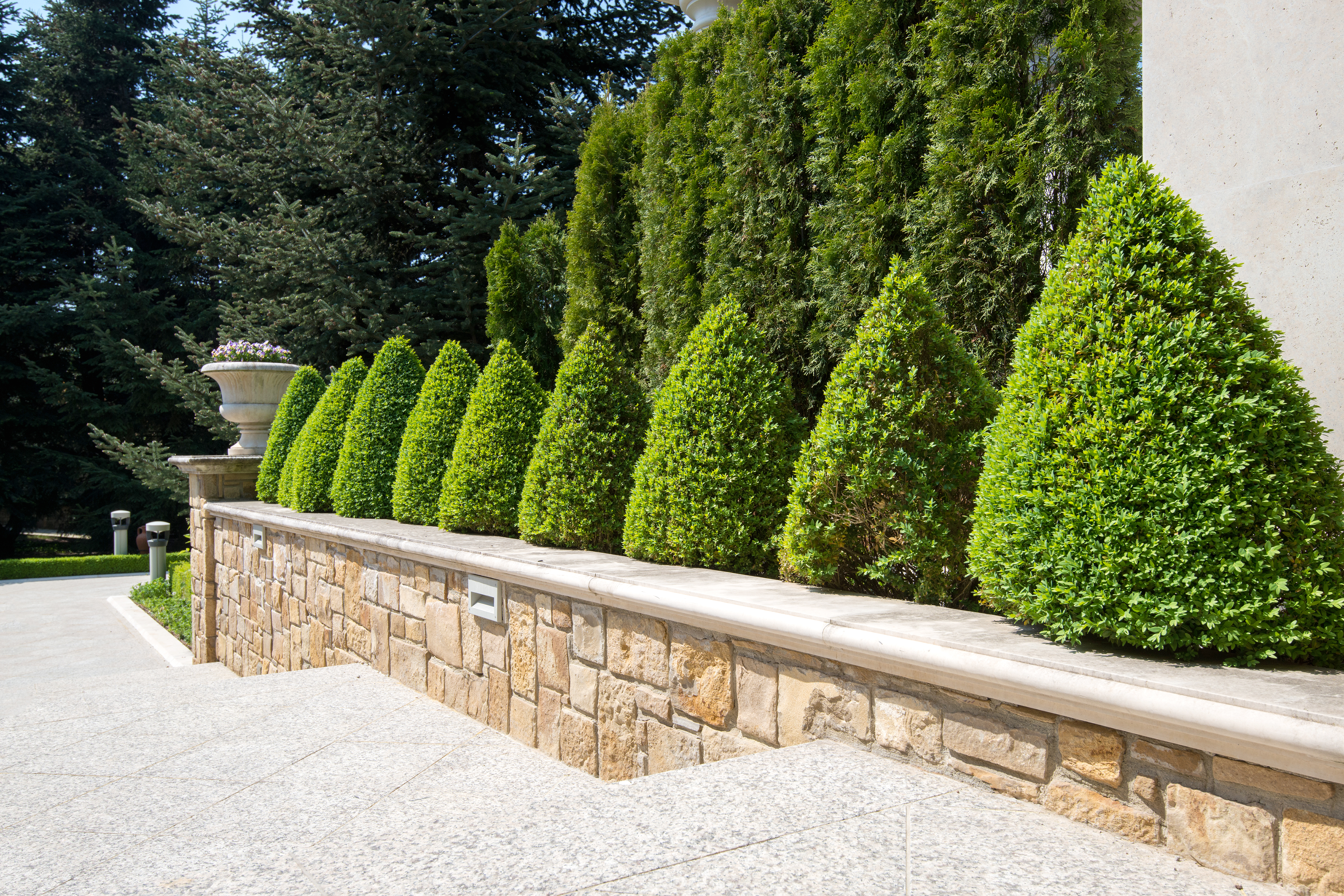 What Does Yellowing On Boxwood Bushes Indicate