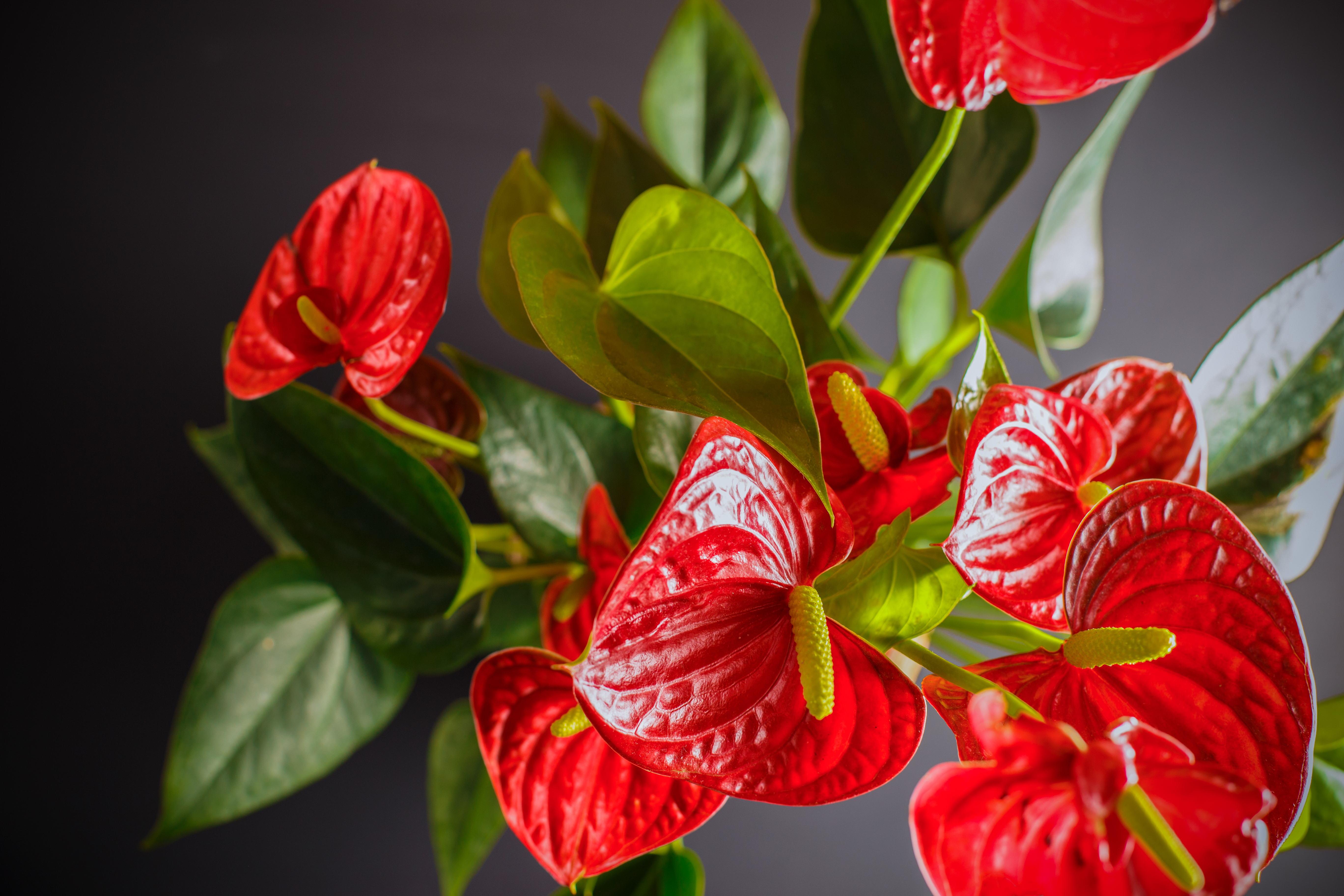 How to Get an Anthurium to Bloom | Home Guides | SF Gate Red Blooming Houseplants on blooming trees, blooming leaves, blooming plants, blooming apples, blooming bromeliads, blooming large peony, blooming hibiscus, blooming iq, blooming weeds, blooming iris, blooming perennials, blooming annuals, blooming bonsai, blooming shrubs,