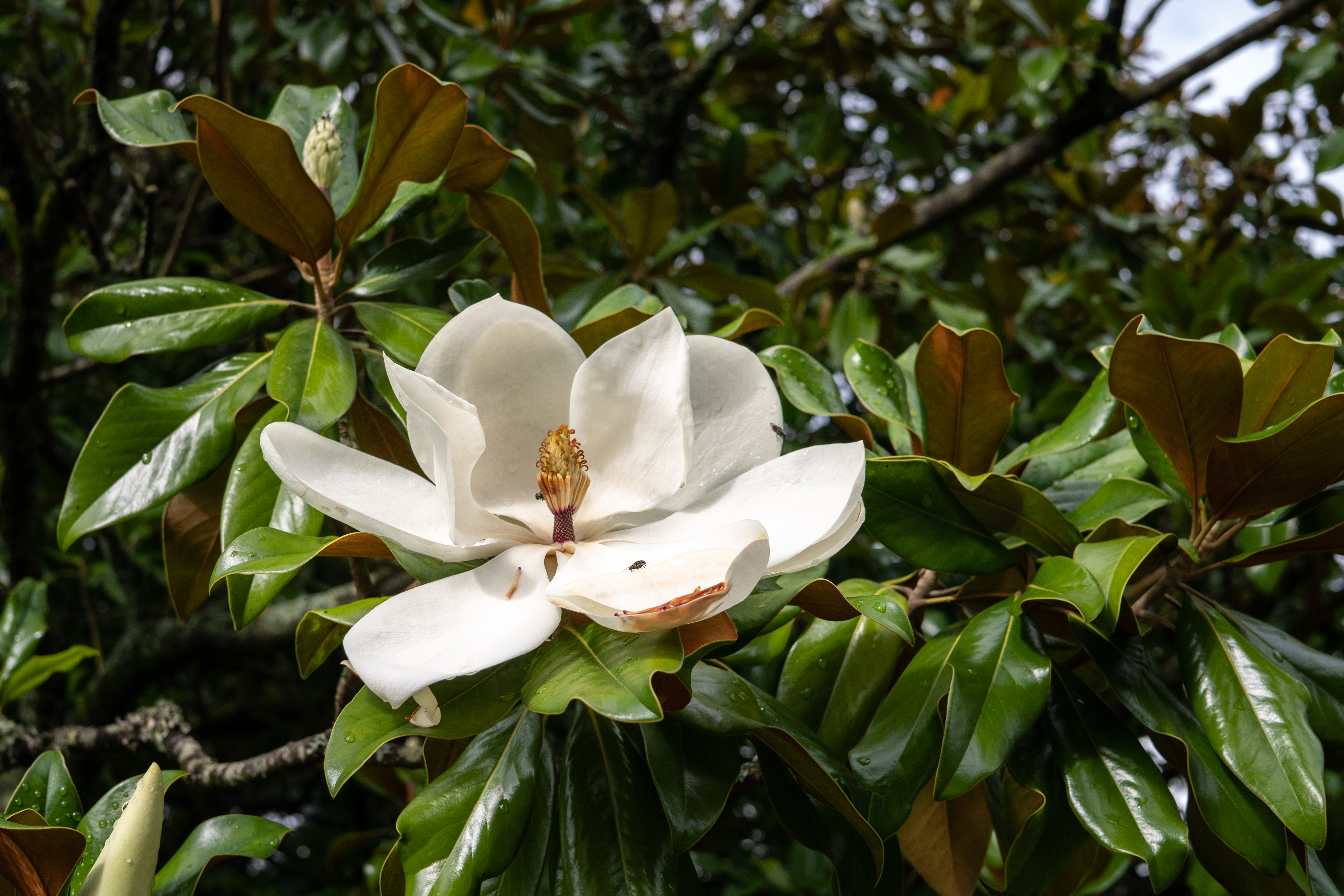 How To Save Magnolia Seed Home Guides Sf Gate