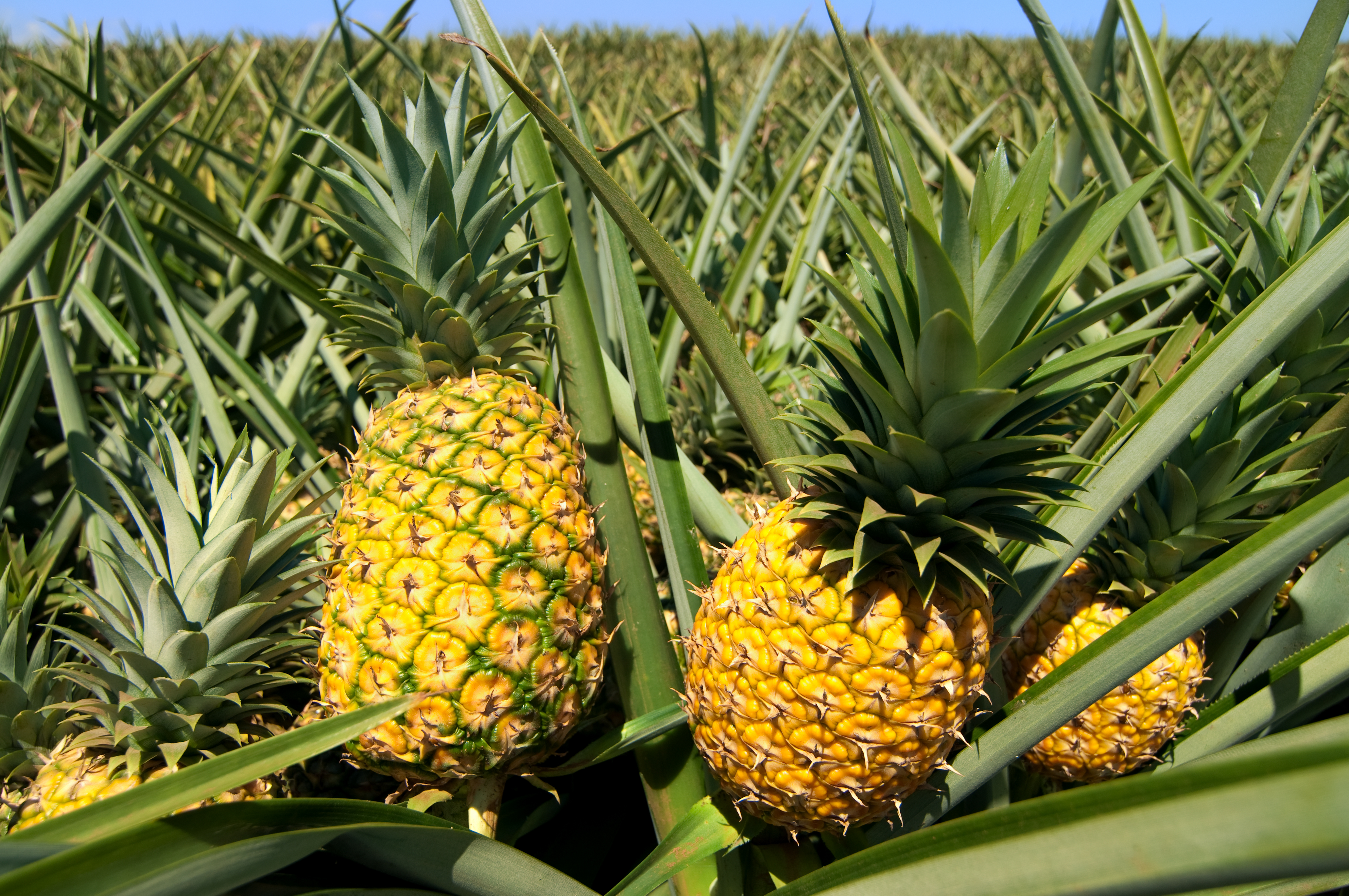 Does A Pineapple Grow Best In Sand Soil Or Water Home Guides
