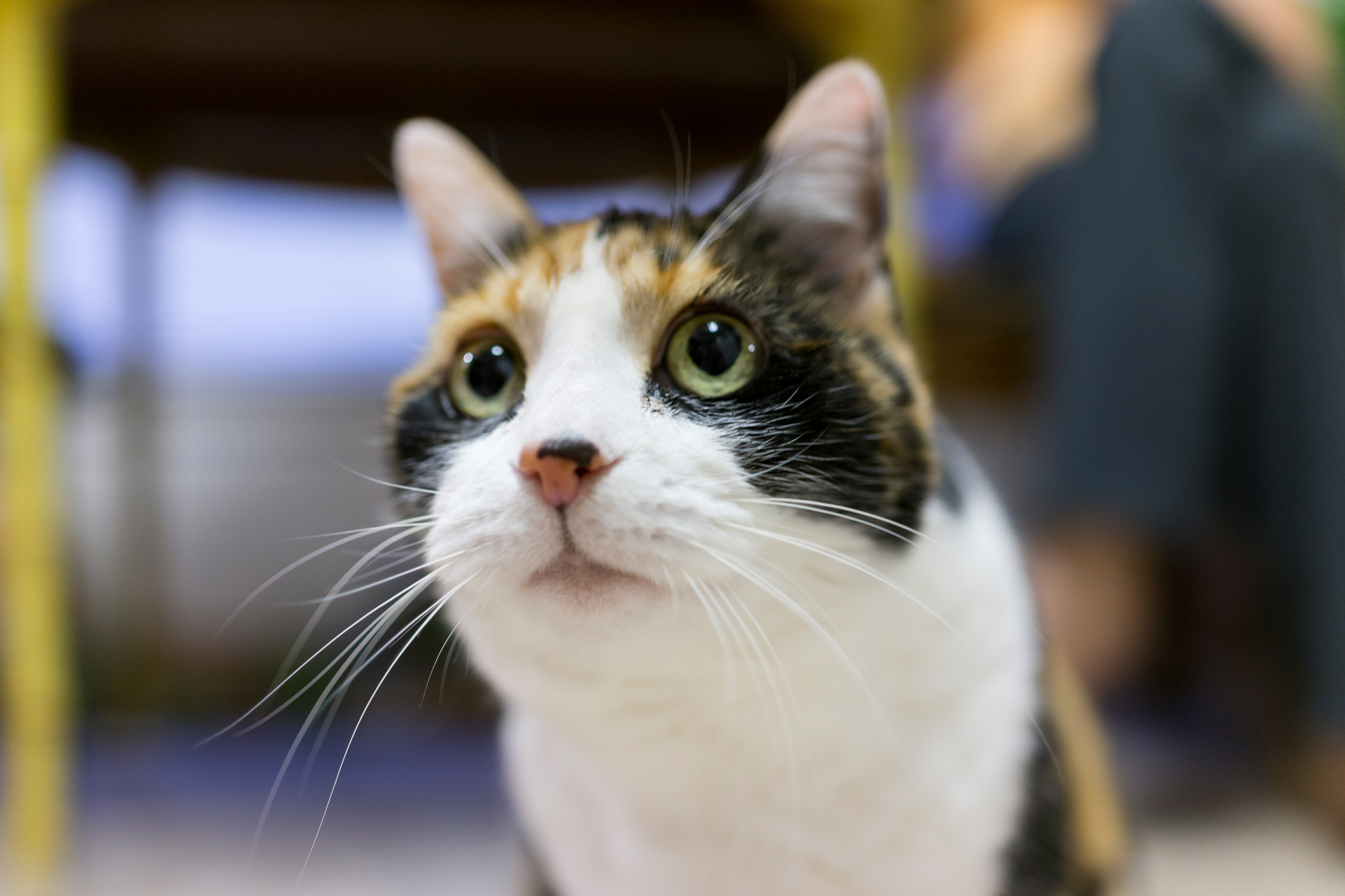 What Are The Causes Of A Feline S Dilated Pupils Cuteness