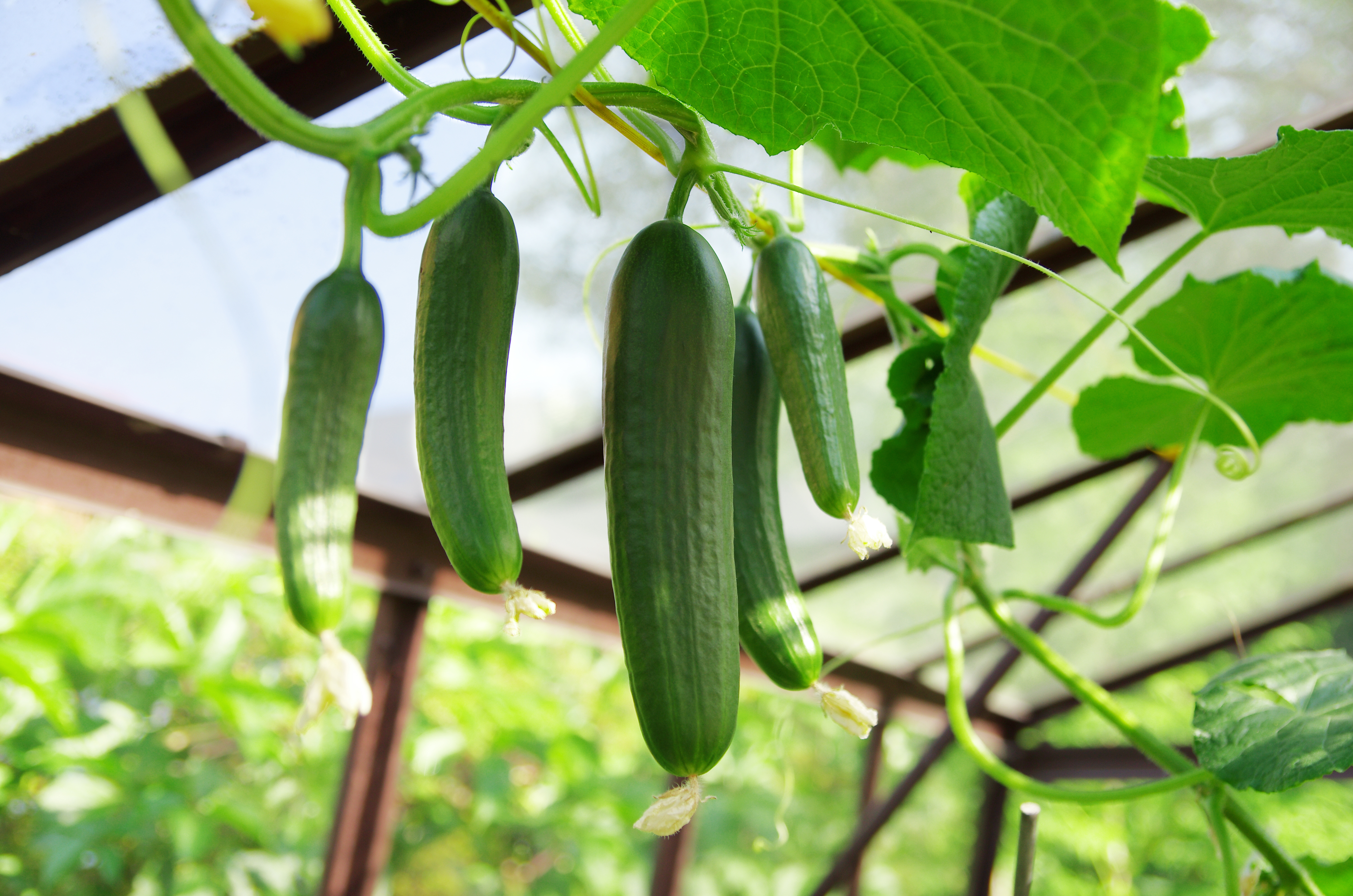 What Not To Plant Near Cucumbers Home Guides Sf Gate