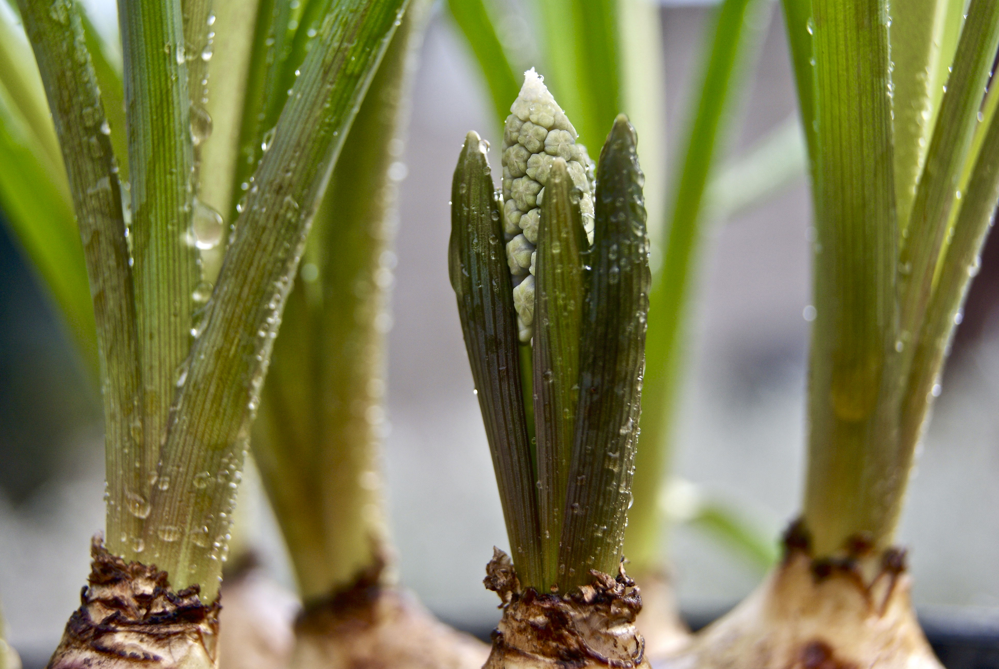 What To Do With A Hyacinth Plant Once The Flowers Have Died Home