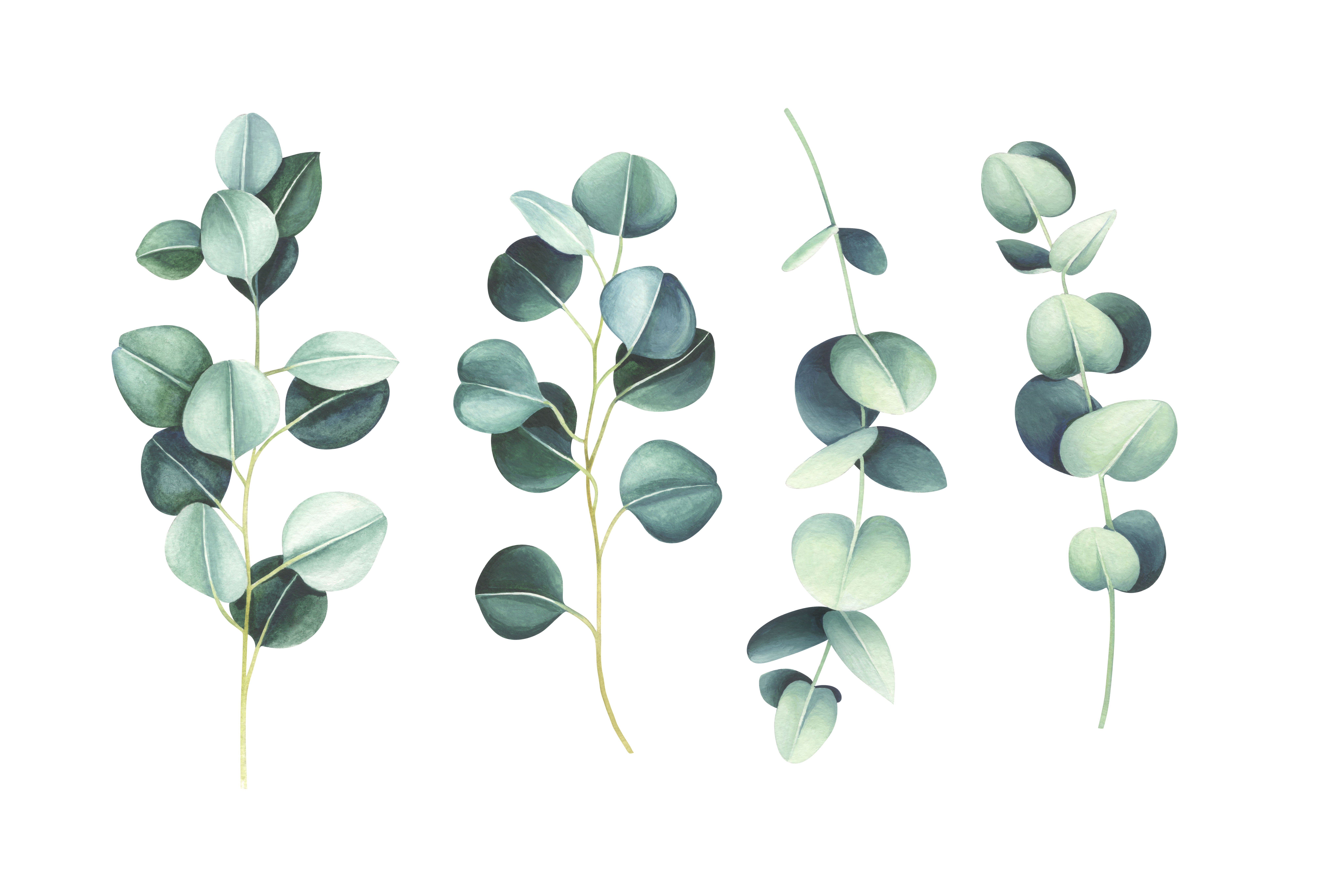 Watering eucalyptus trees how and when to water a eucalyptus tree.