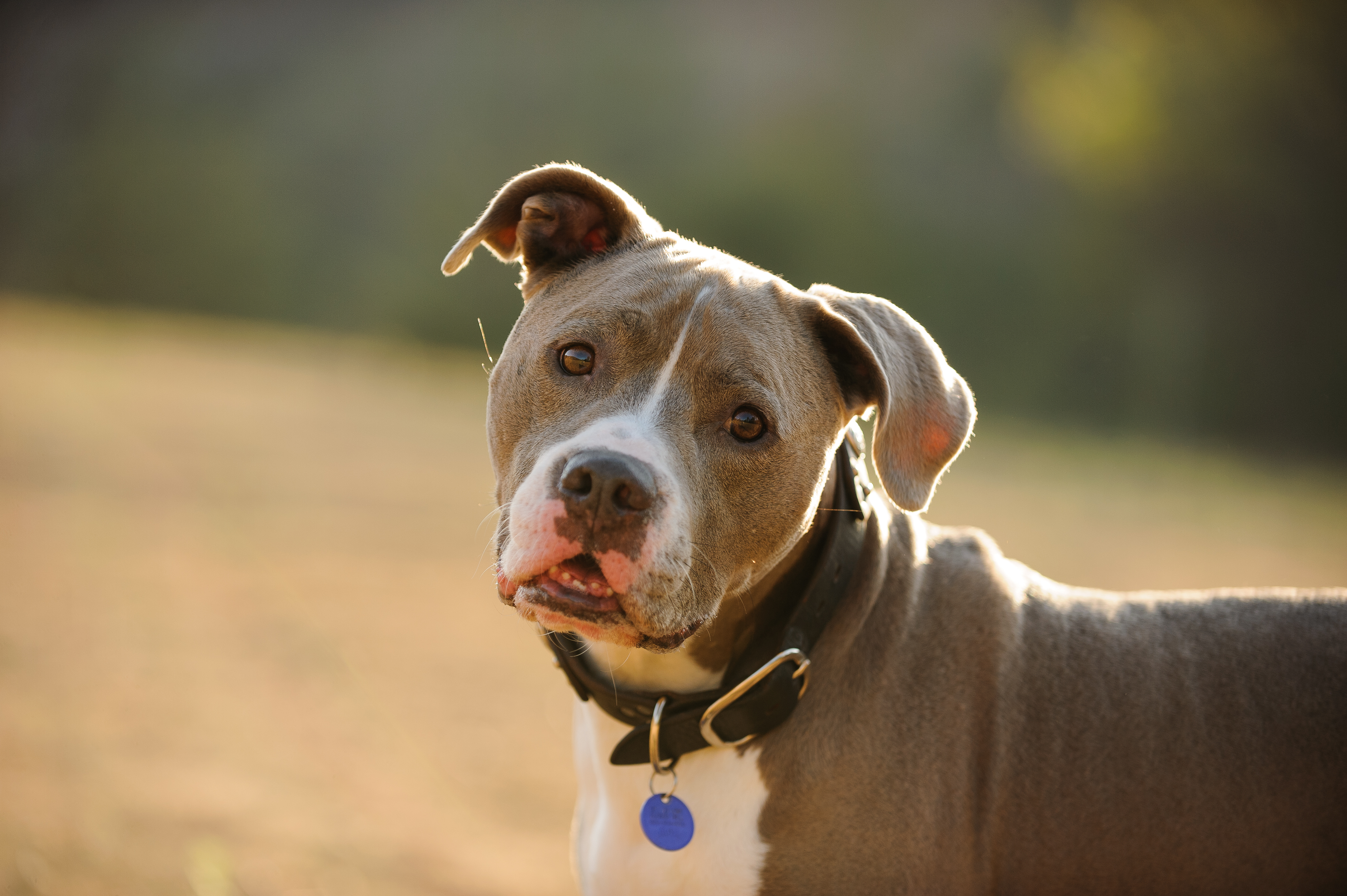 How to Tell What Kind of Pit Bull I Have | Cuteness