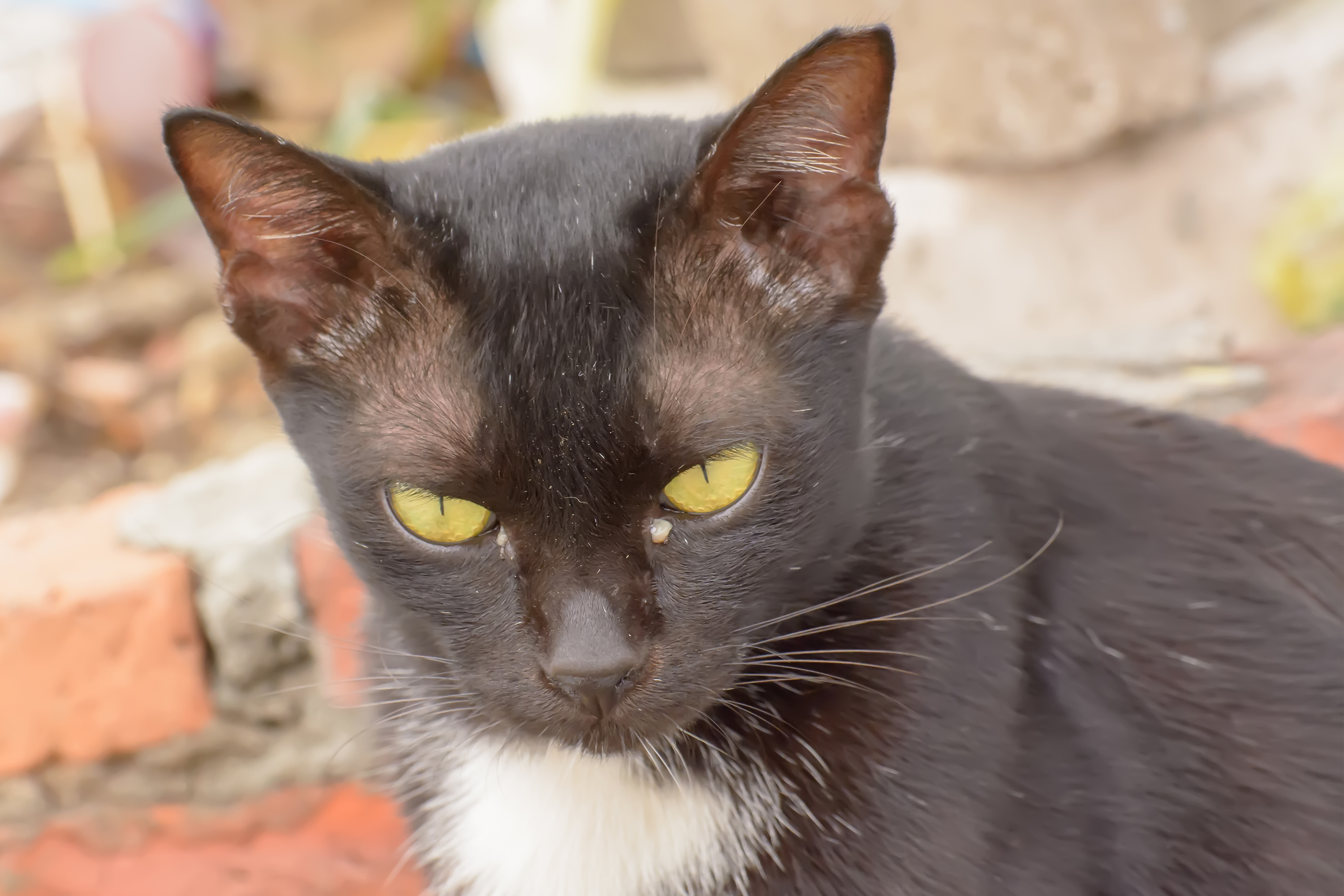 black eye discharge in cats