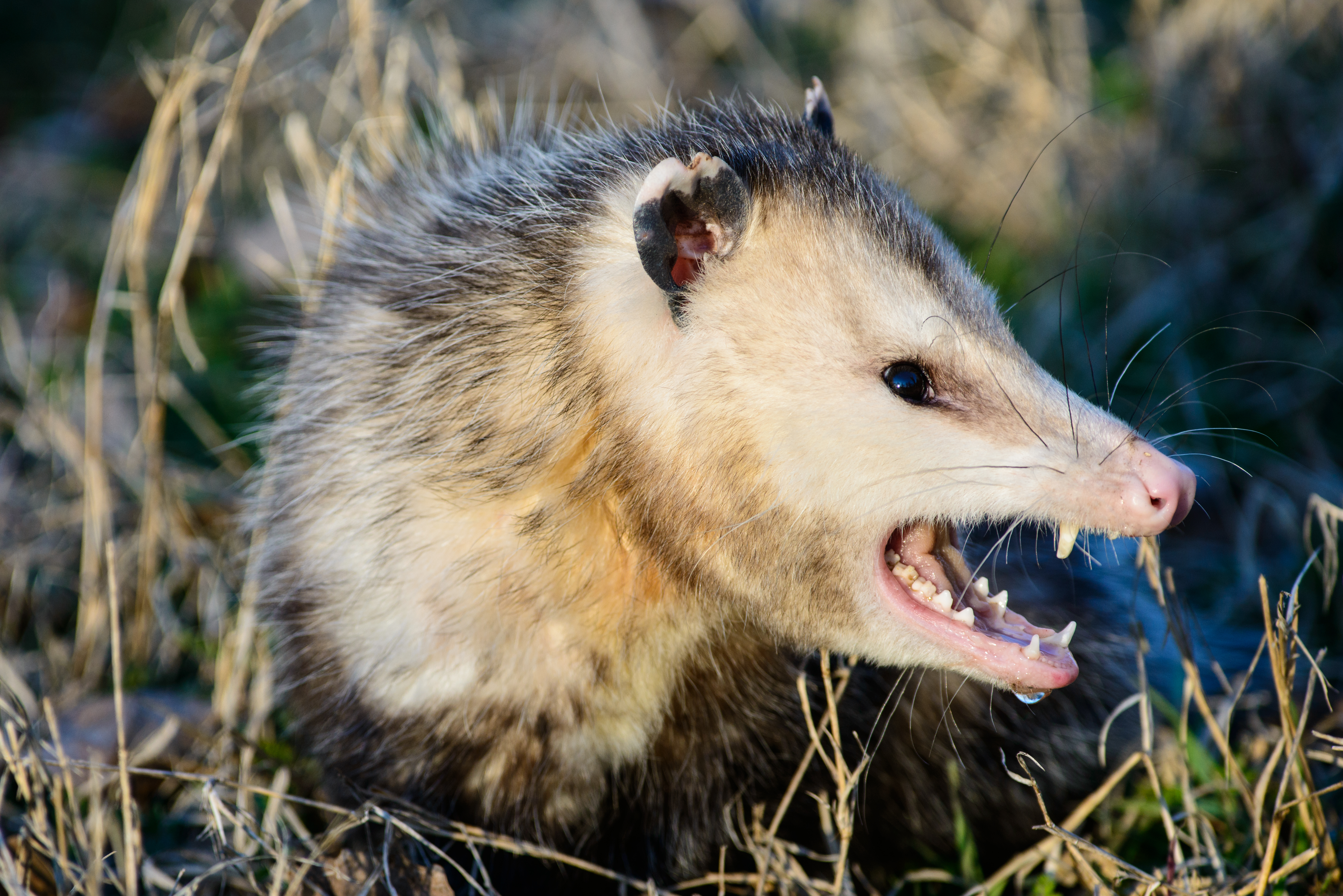 What Do Possums Eat and Are They Dangerous? | Home Guides