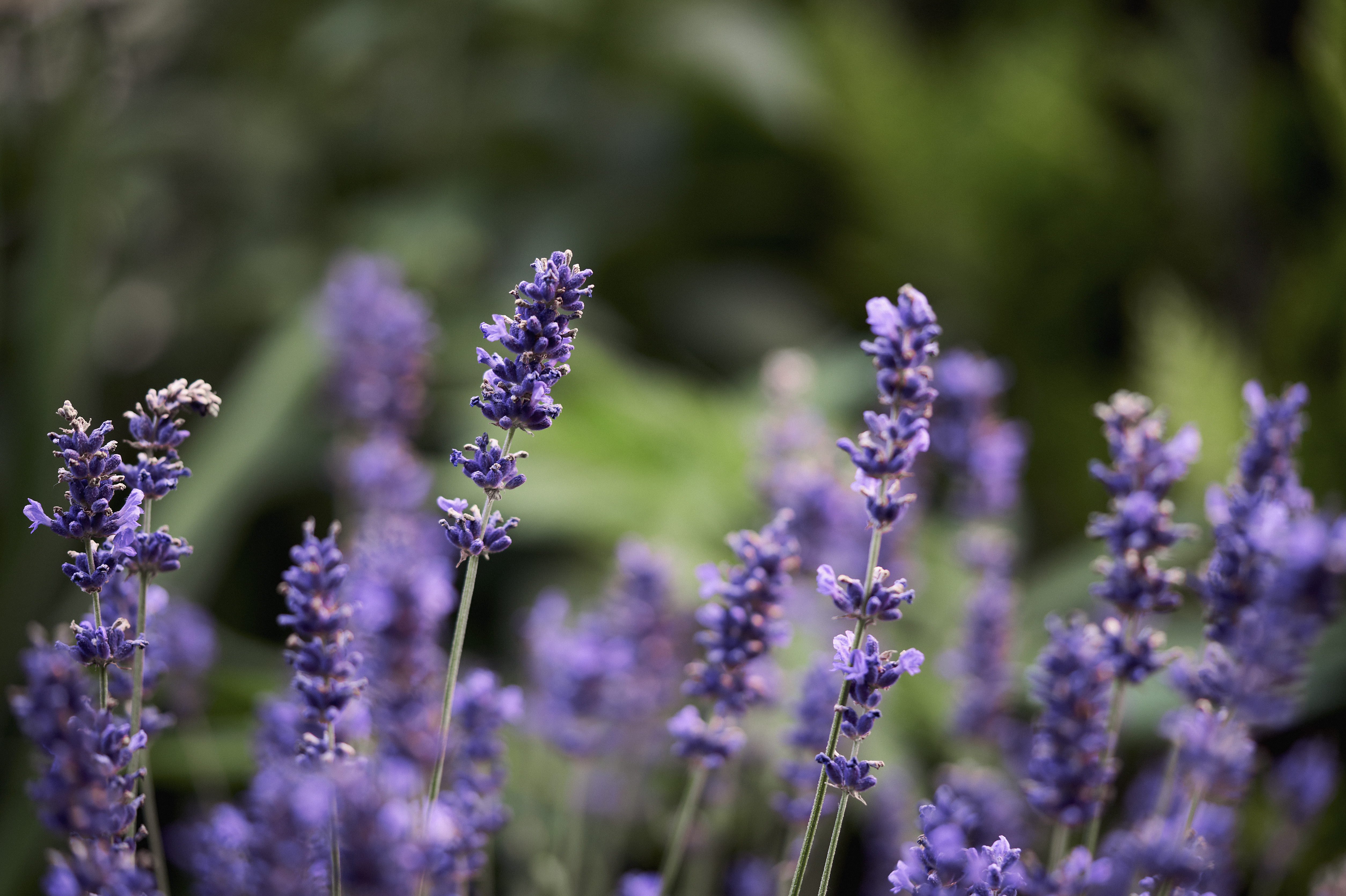 How Long Until Lavender Is Mature Home Guides Sf Gate