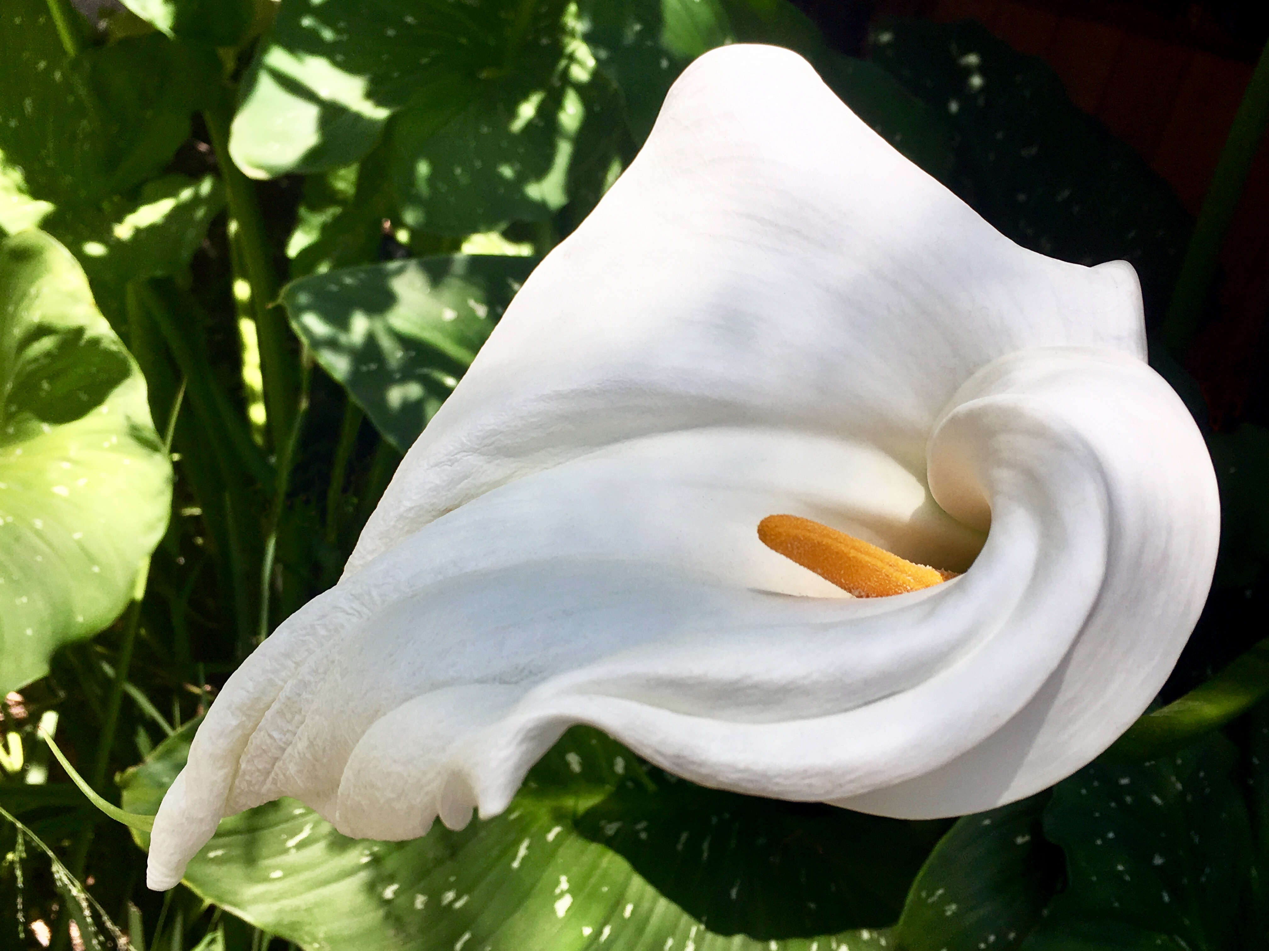 Why Is My Peace Lily Droopy? | Home Guides | SF Gate House Plant Peace Lily Problems on peace lily problems white residue, peace lily plant brown leaves, jade house plant problems, begonia house plant problems, peace lily indoor plant, gardenia house plant problems, peace lily plant care of,