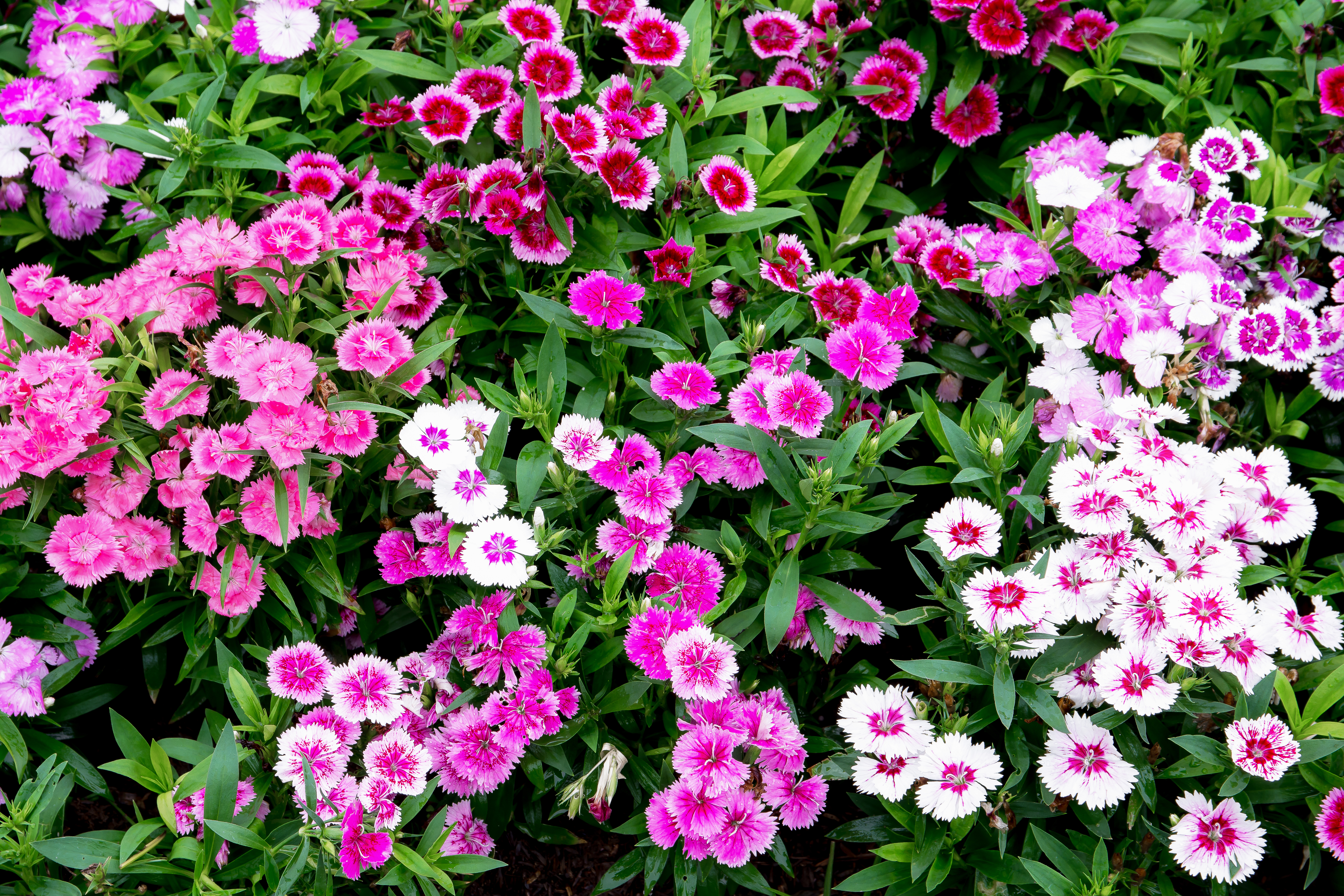 How To Remove Dead Blooms From A Dianthus Home Guides Sf Gate