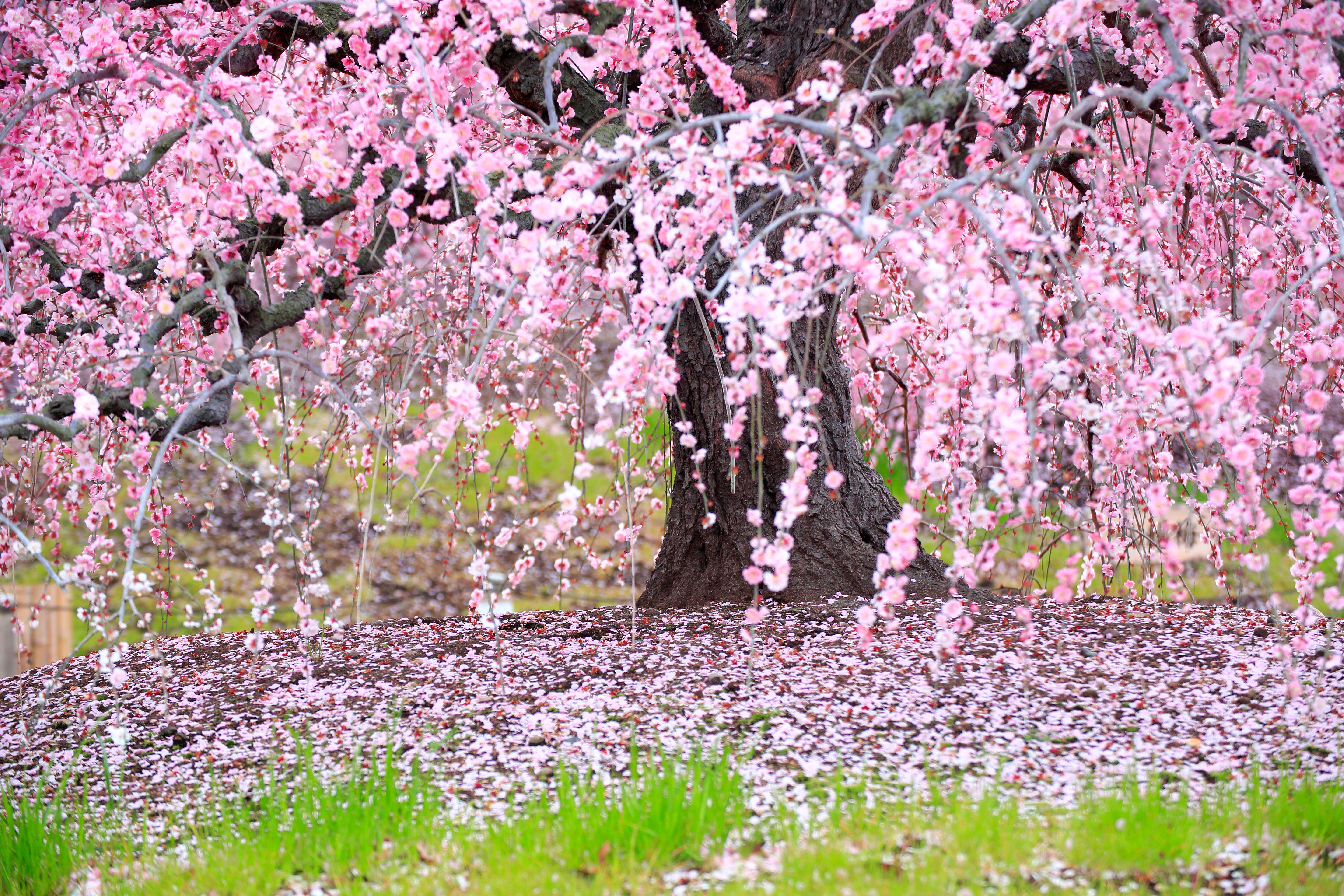 Cherry Trees Insects That Cause Leaf Damage