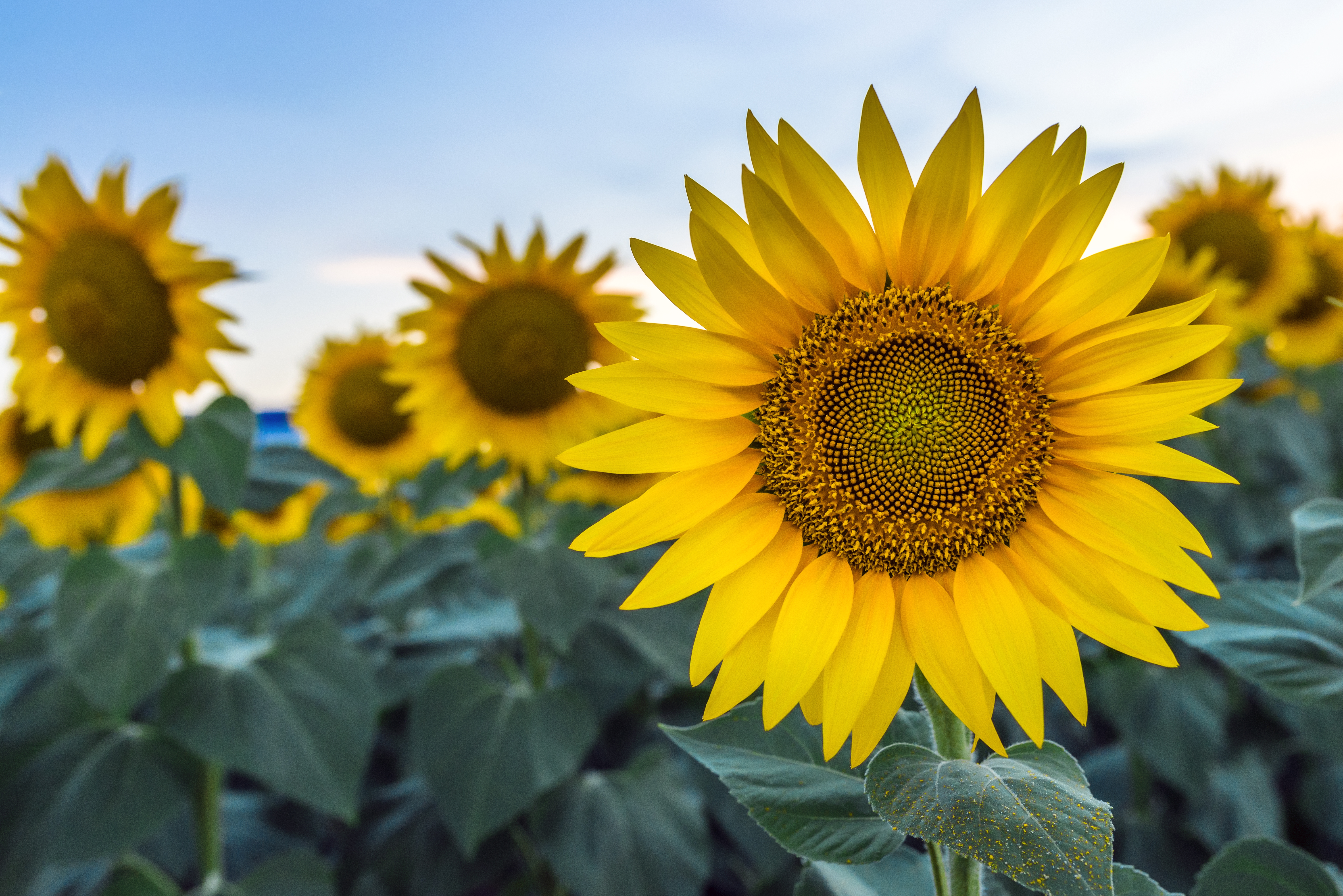 c59690989 How Much Sun & Water for Sunflowers? | Home Guides | SF Gate