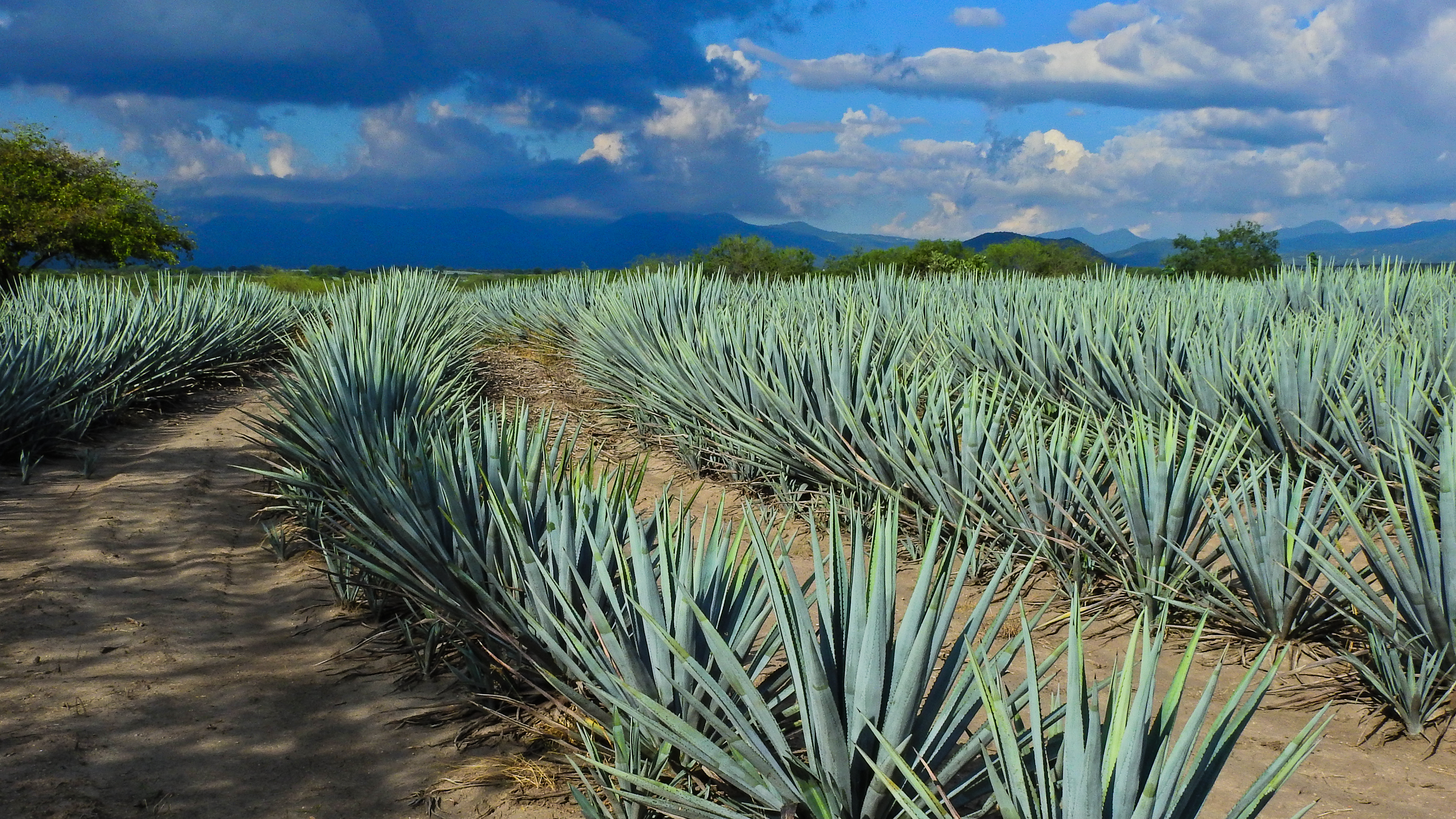 How To Transplant Agave Plants Hunker