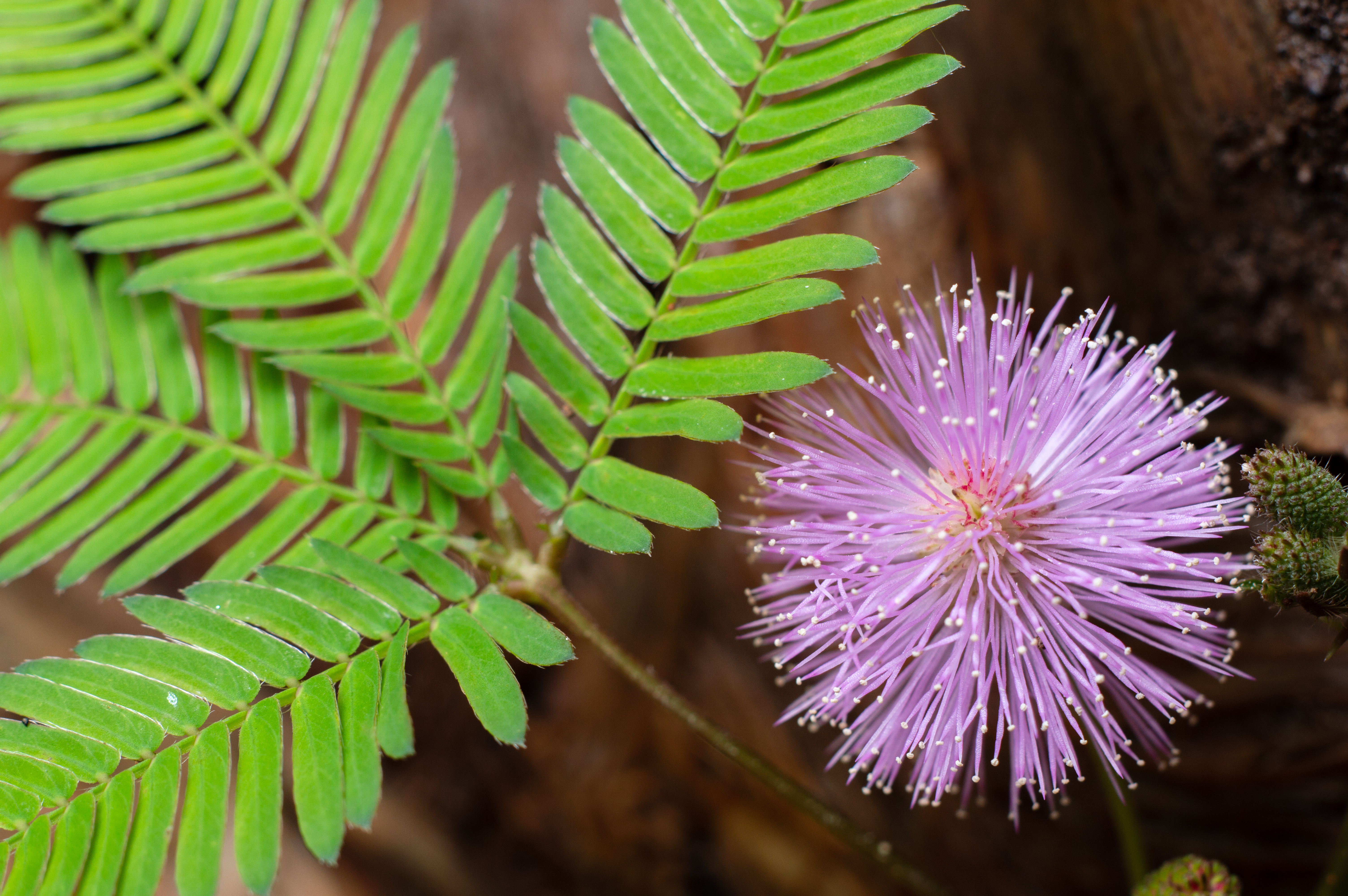Care of the Sensitive Plant Mimosa Pudica | Home Guides | SF Gate