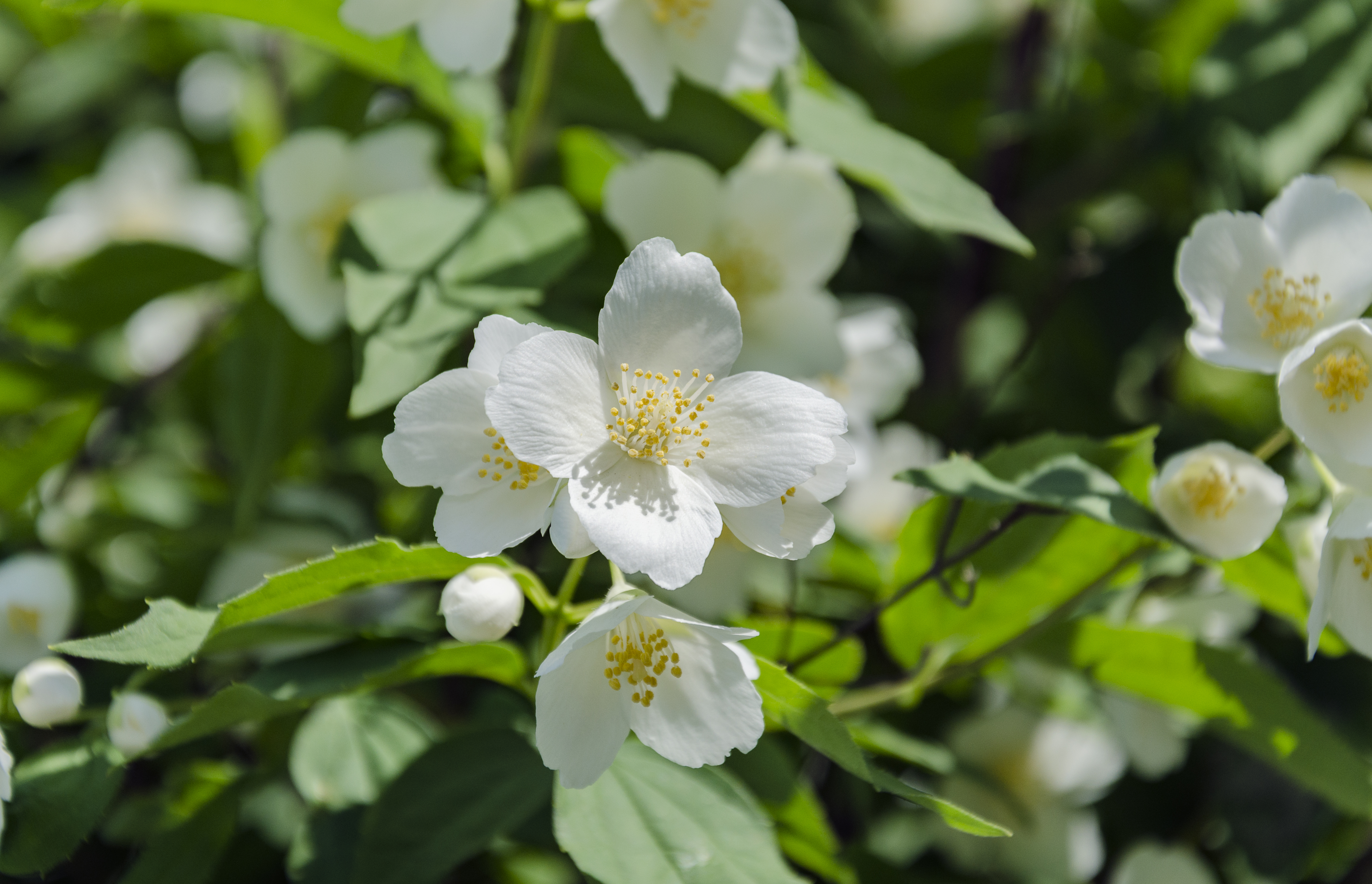 Outdoor Jasmine Plant Guide | Home Guides | SF Gate