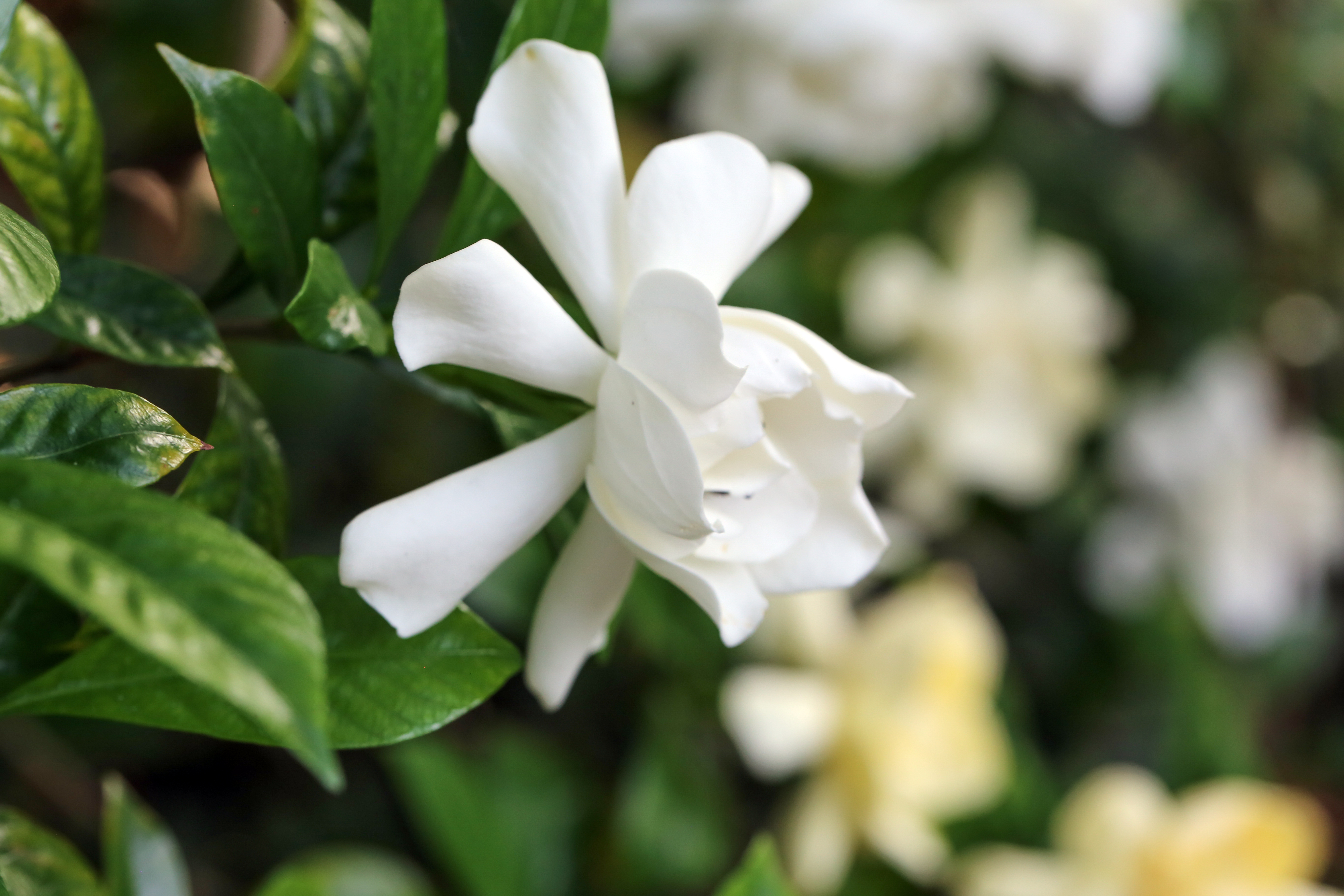 When To Fertilize Potted Gardenias Home Guides Sf Gate