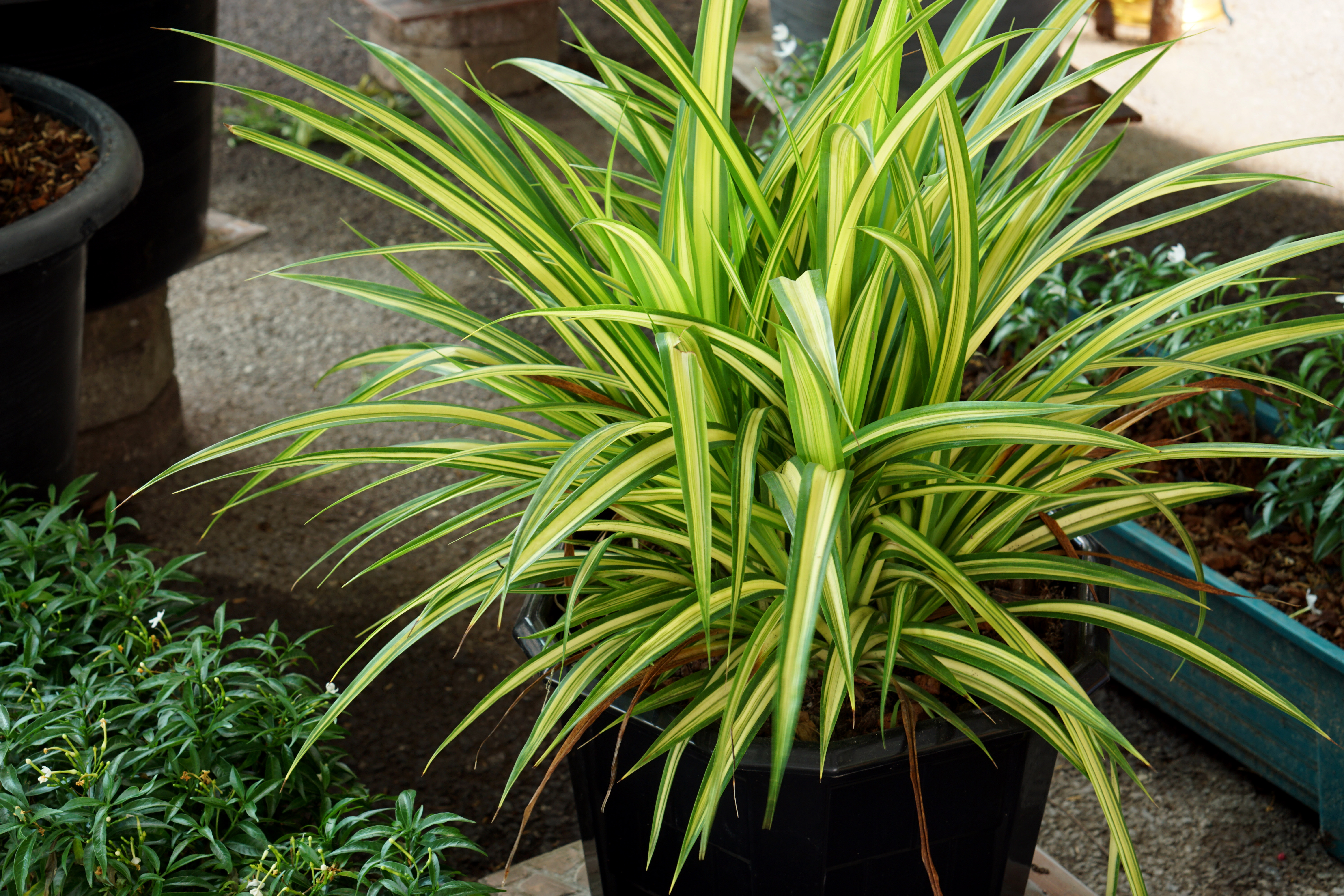 Is Variegated Dracaena Toxic to Cats?   Home Guides   SF Gate on