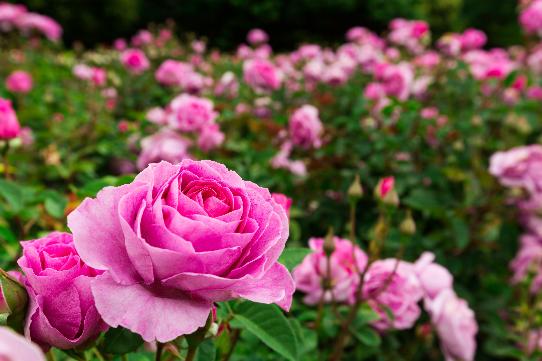 Homemade Pesticides for Roses | Home Guides | SF Gate