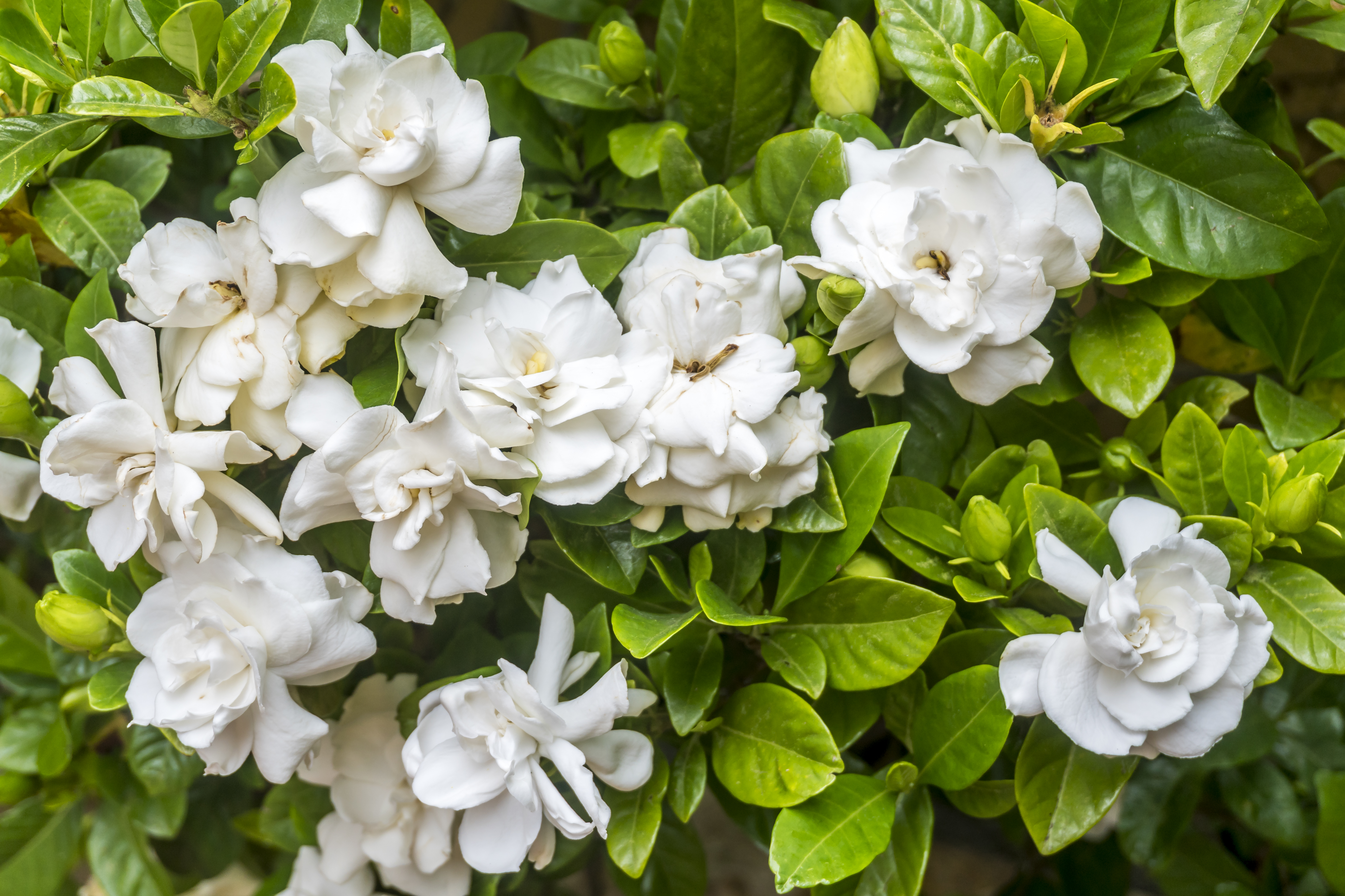 How To Trim Overgrown Gardenias