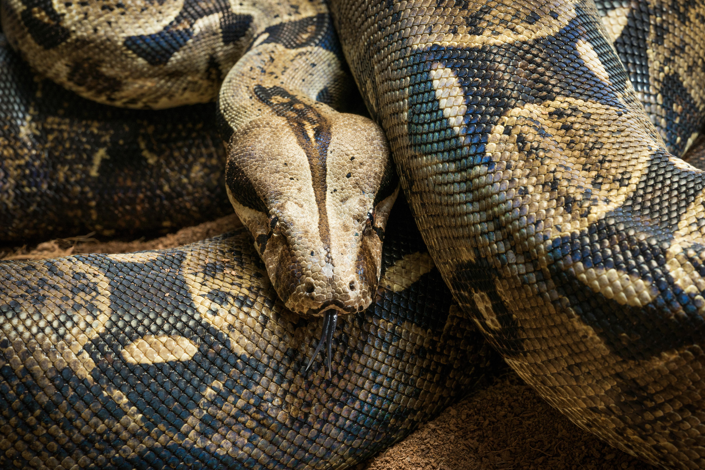 Boa Vs Python Cuteness