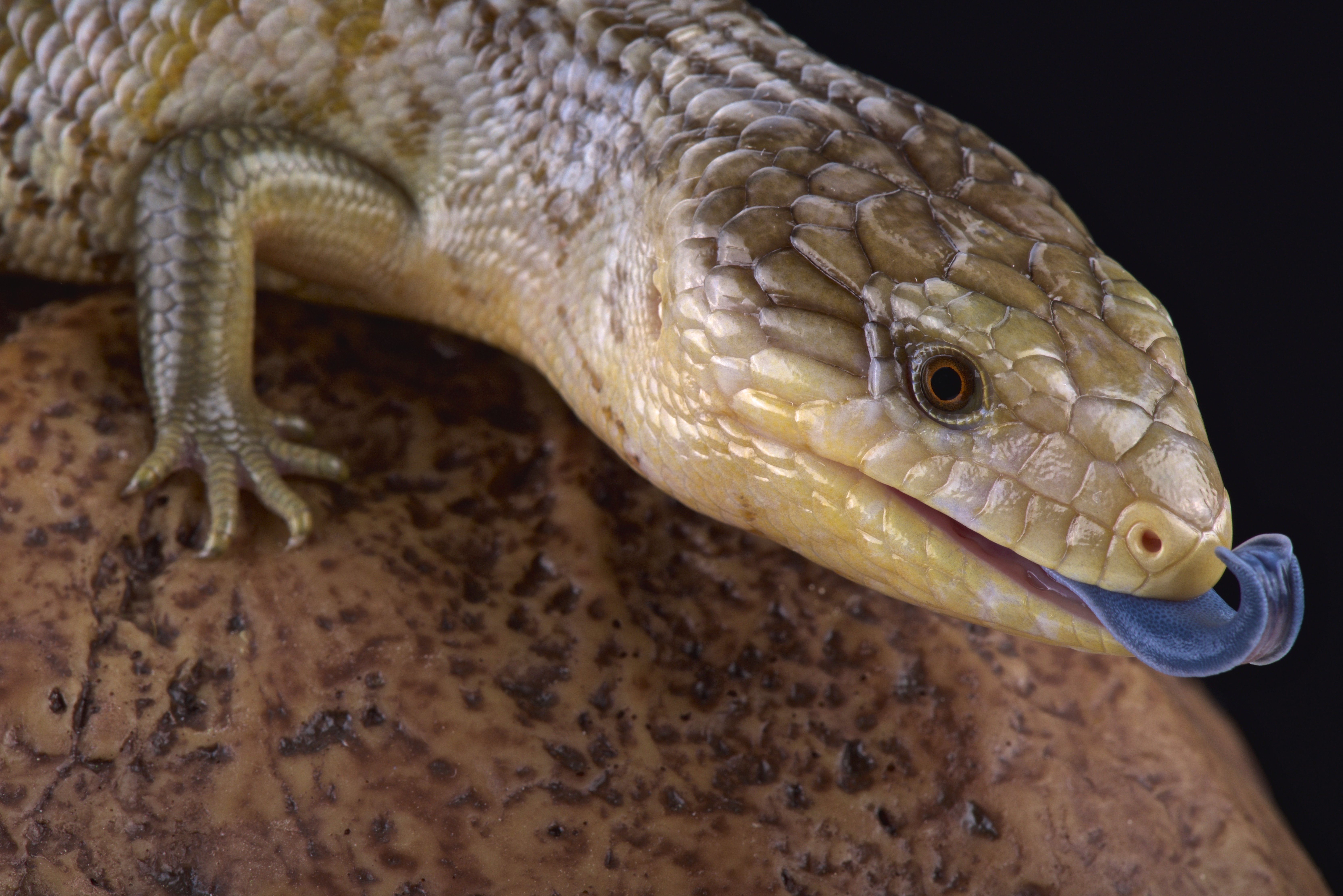 Lizards That Live In Tennessee Sciencing