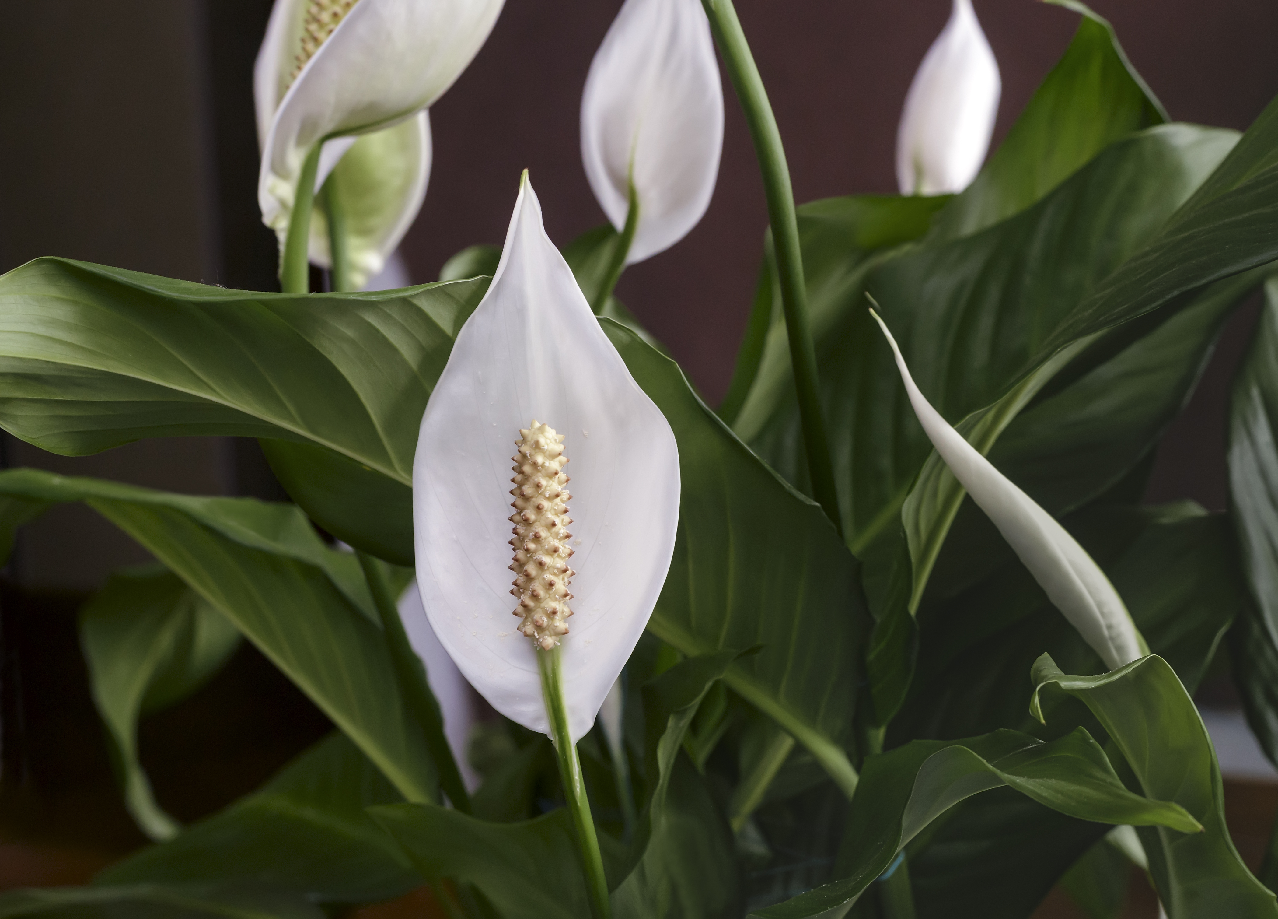 Image result for Peace lily