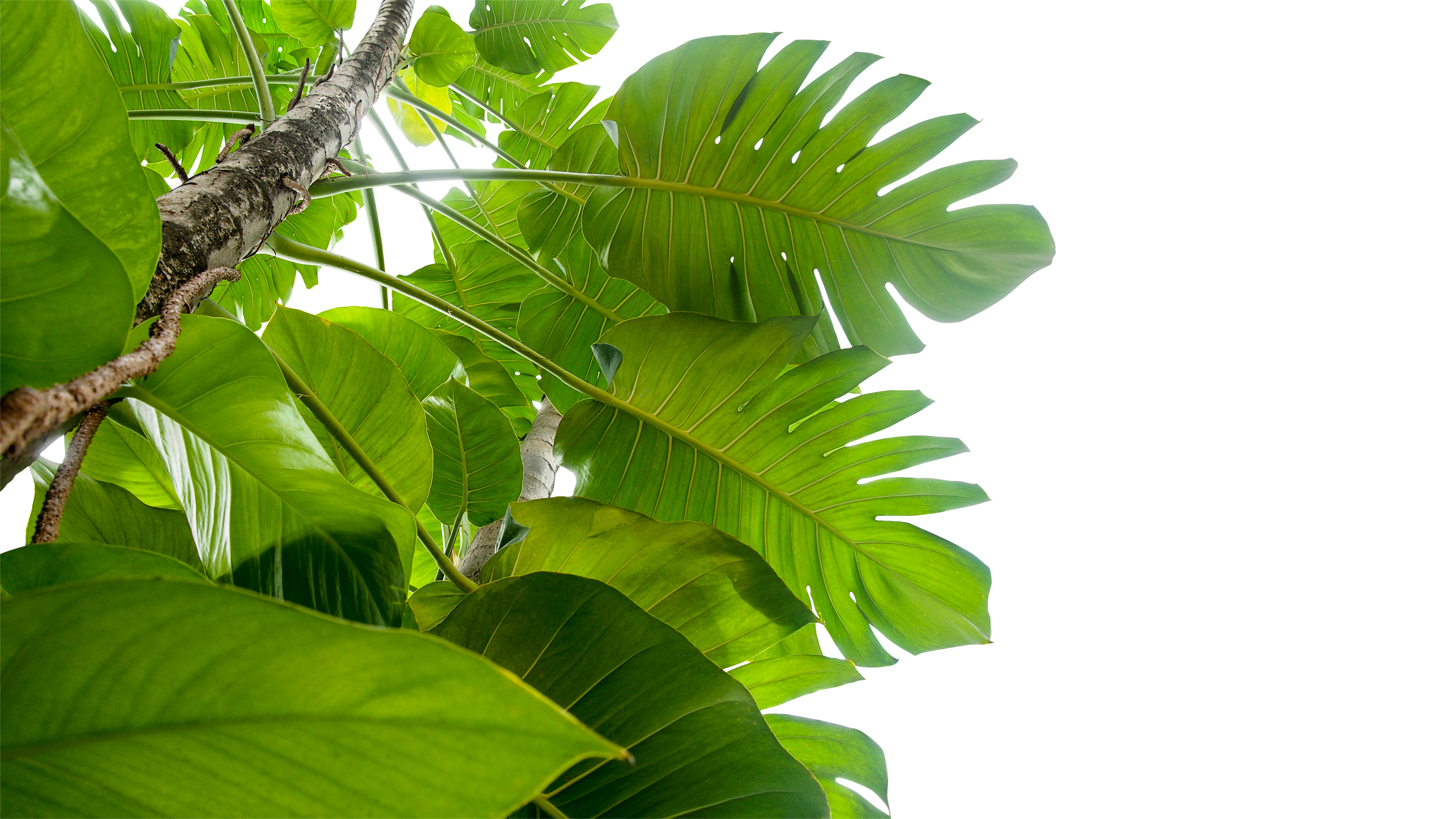 How to Grow a Philodendron in Water | Home Guides | SF Gate Big Leaf House Plant With Fiery Leaves Html on