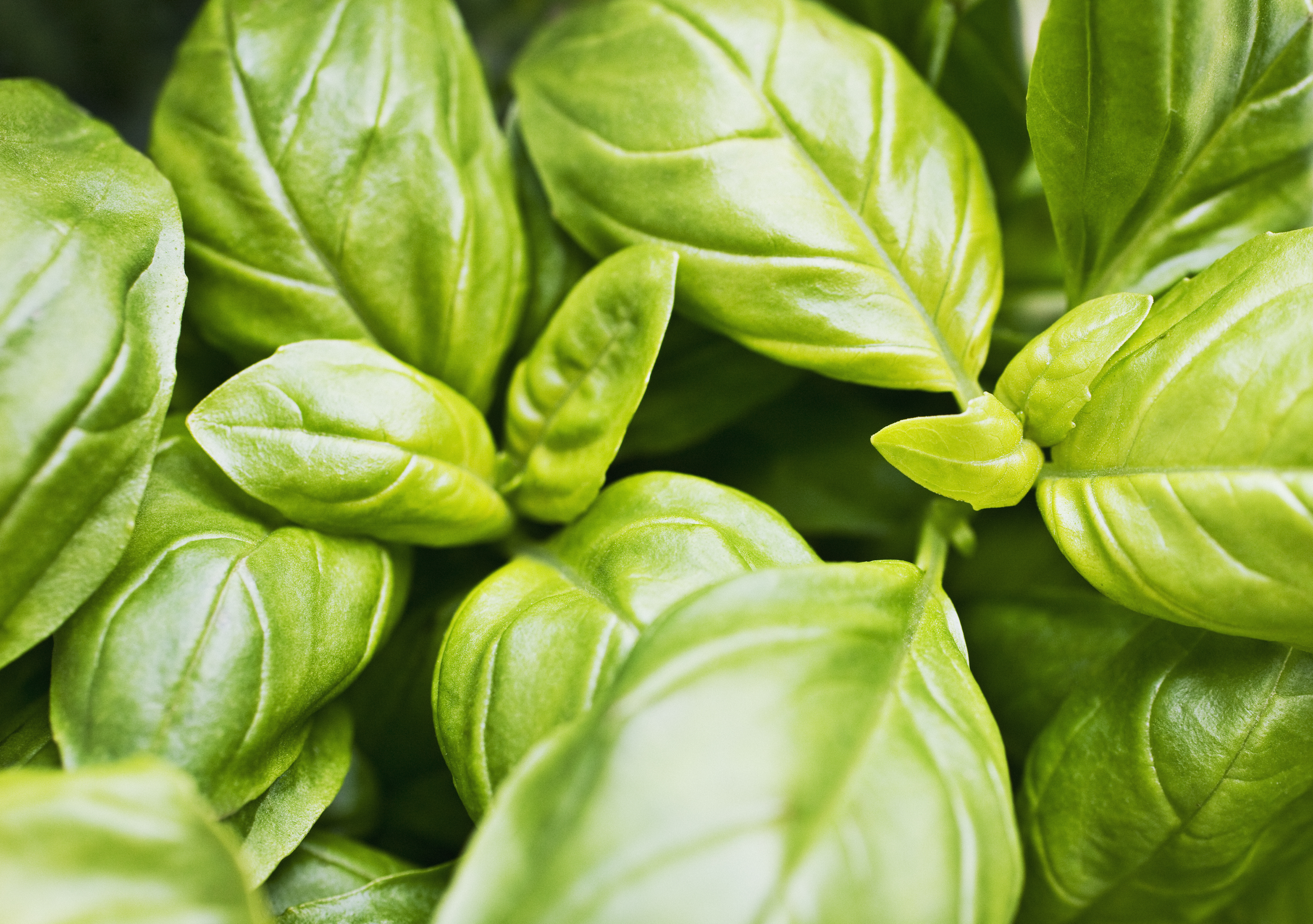 Round Brown Spots on Basil Leaves | Home Guides | SF Gate