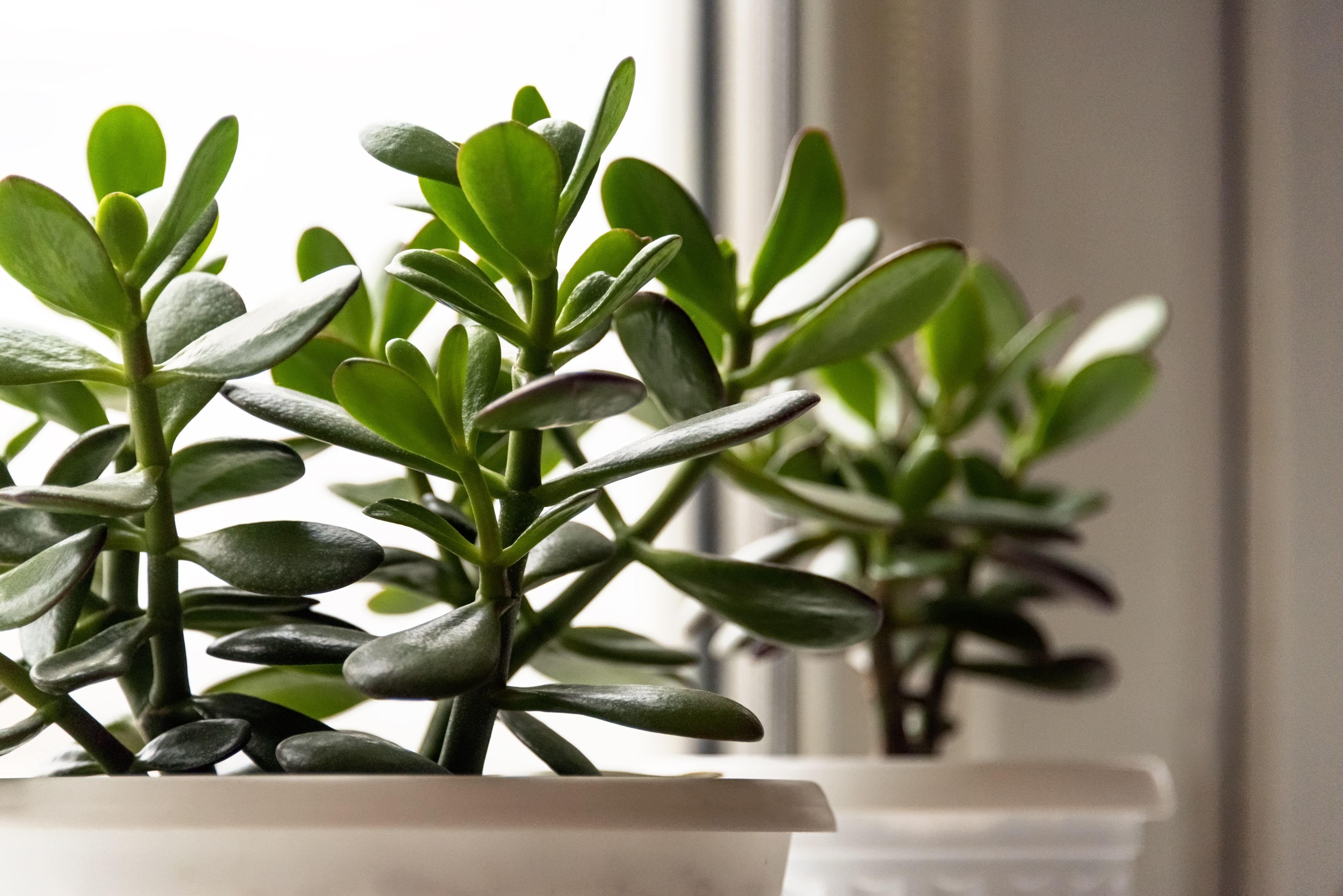 How to Prune a Money Tree to Keep the Leaves Low to the
