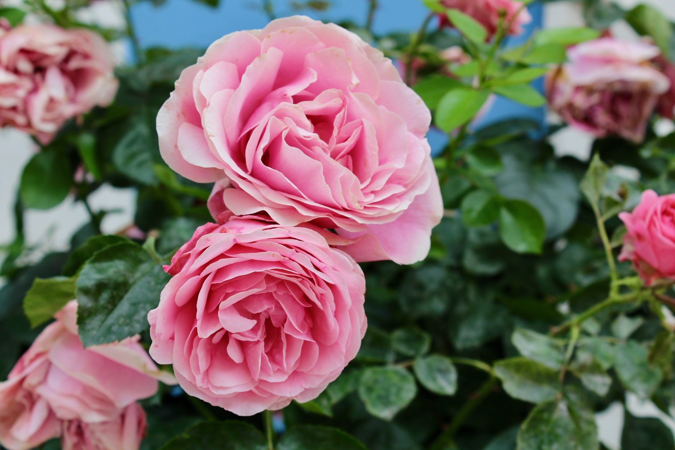 Roses With Curling Leaves   Home Guides   SF Gate