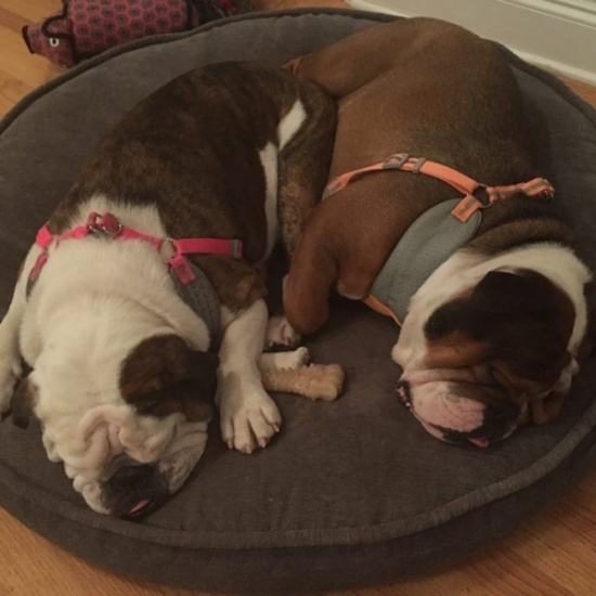 Georgia English Bulldog Rescue Inc's Photo