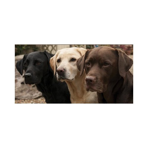 Lab Rescue Of Greater Richmond's Photo