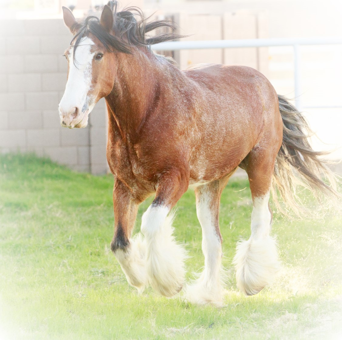 USA CLYDESDALE PRESERVATION FOUNDATION's Photo